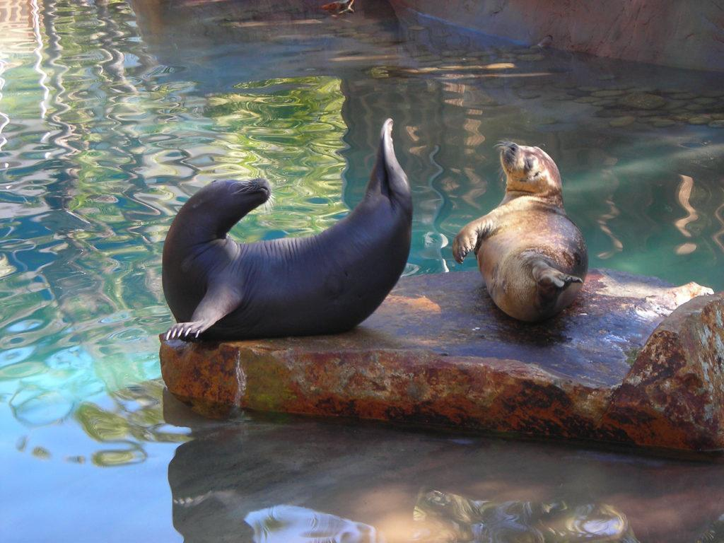 The rescued seals at Bahia Resort Hotel, one of San Diego's best beach hotels