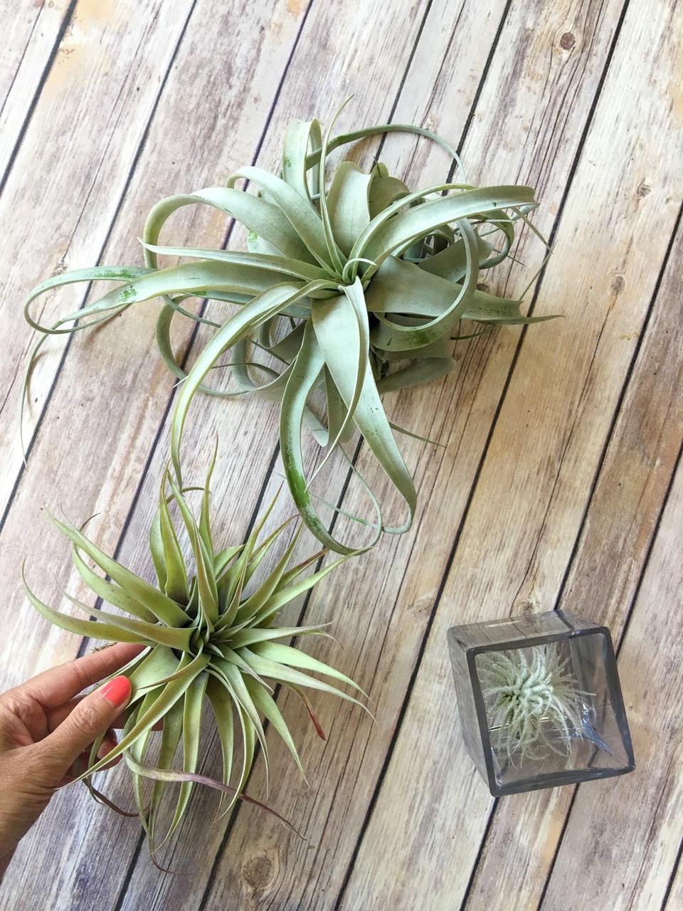 Pretty air plants