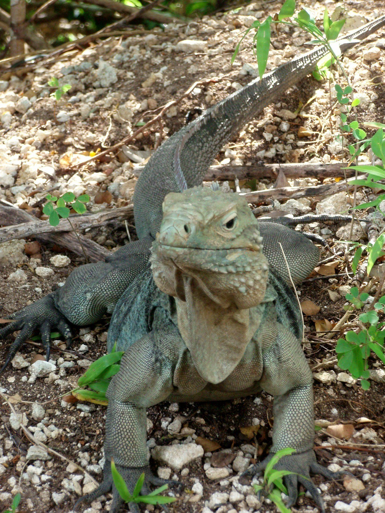 The endangered Cayman Blue Iguana can be seen at Grand Cayman's Queen Elizabeth II Royal Botanic Park.