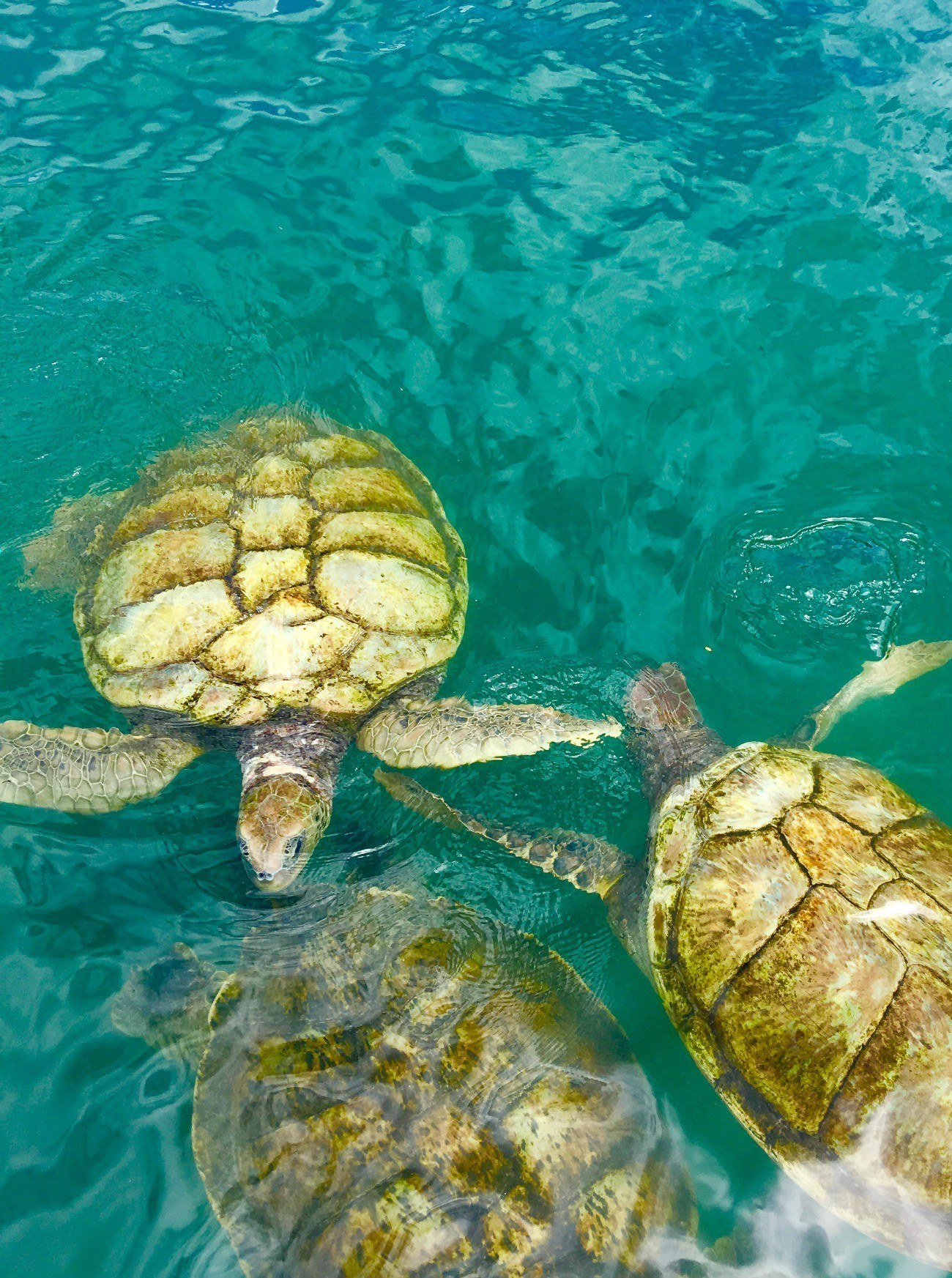 Turtles huddled together in the water at Cayman Turtle Centre.