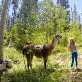 Take a Llama to Lunch in Vail During the Summer