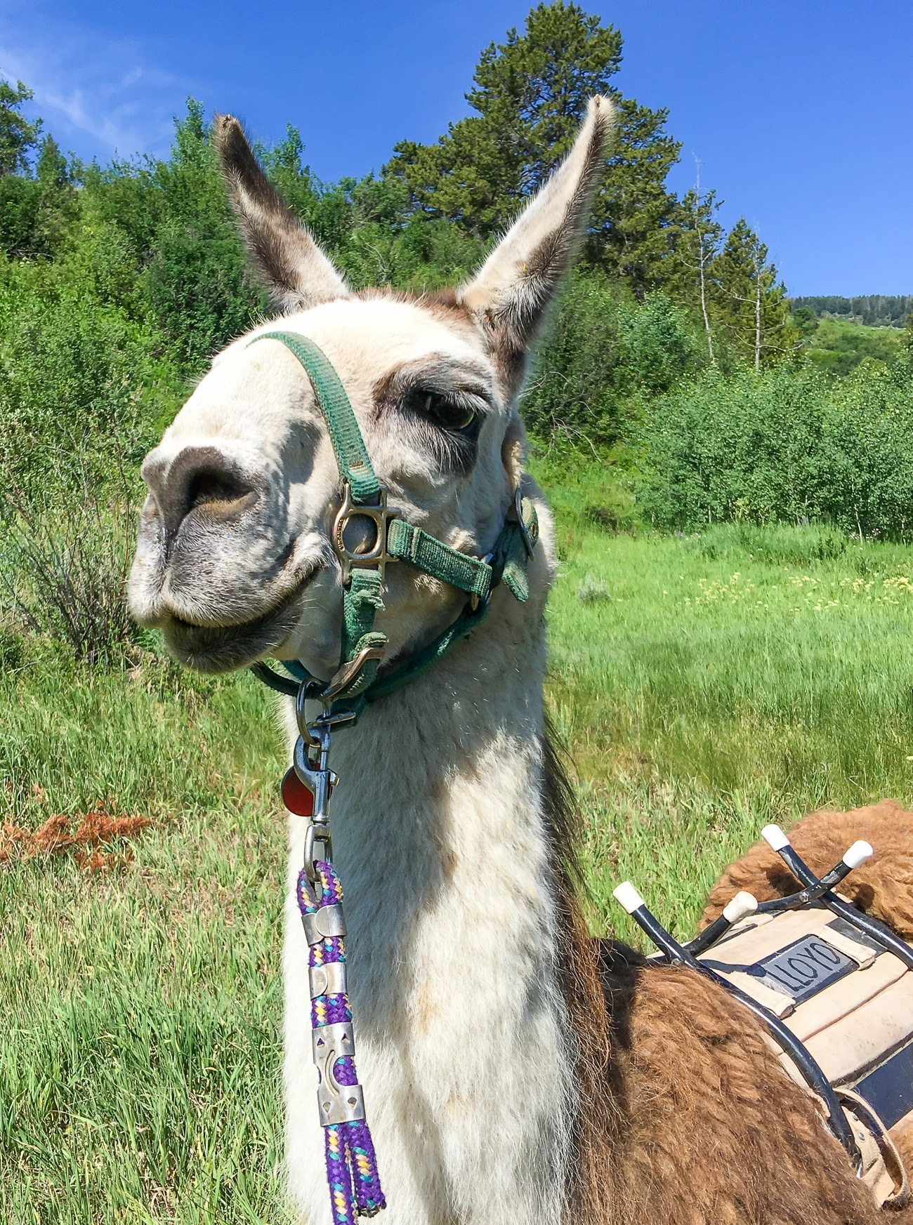 We went llama trekking with Lloyd the llama in Vail, Colorado with Paragon Guides.