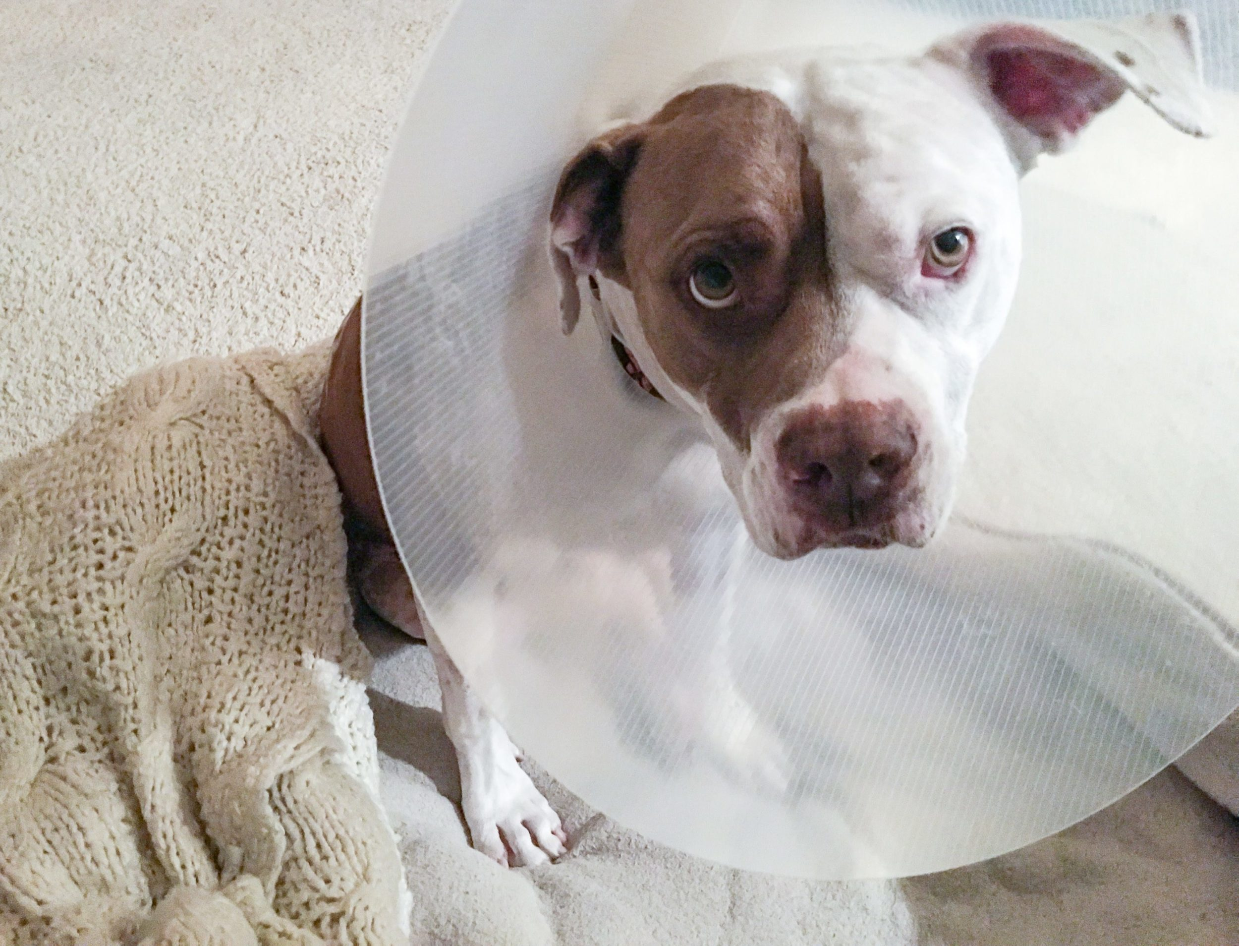 What It S Like During A Dog S Tplo Surgery Recovery La