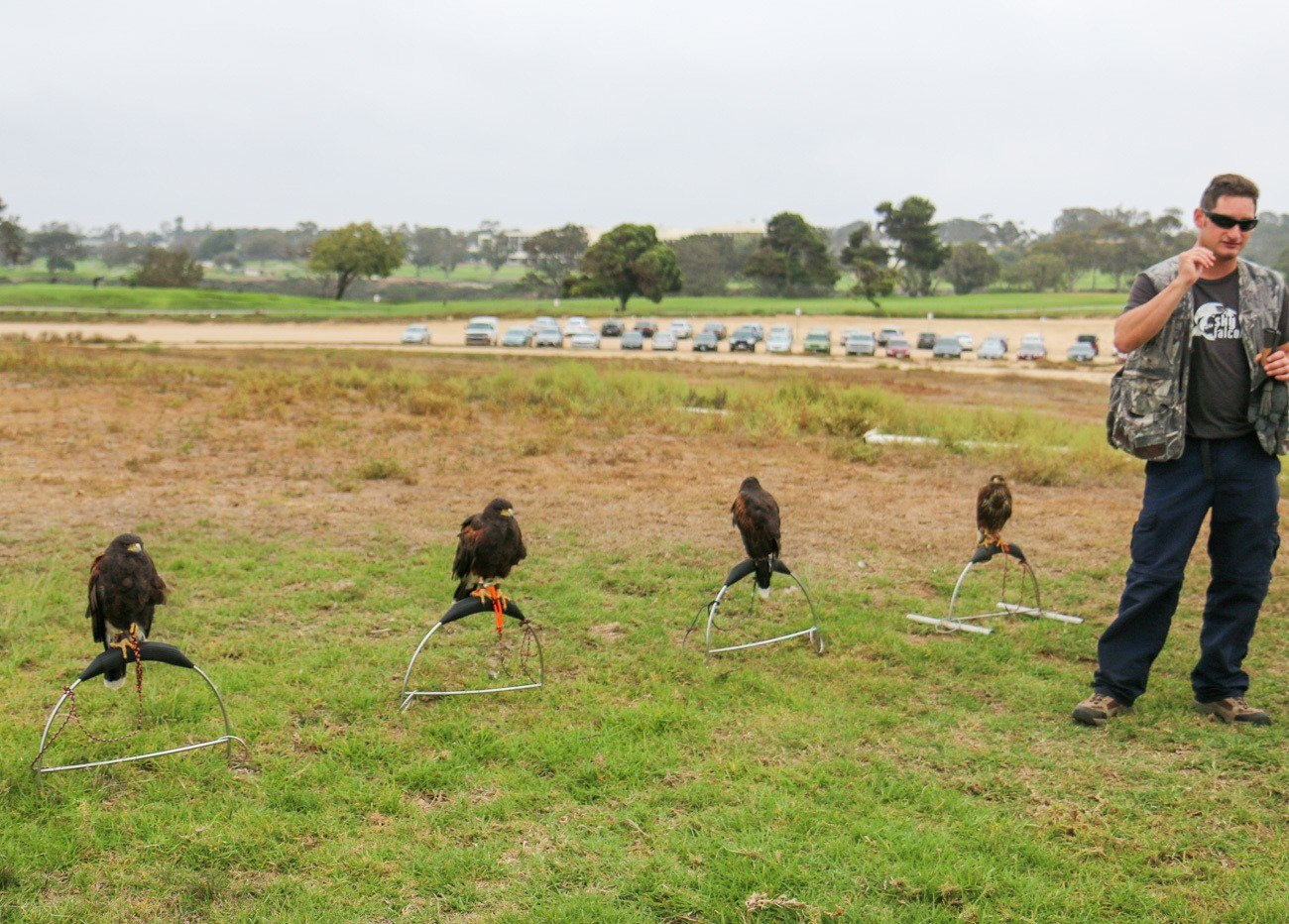 Harris's hawks waiting to fly during a basic falconry lesson at Torrey Pines Gliderport in La Jolla