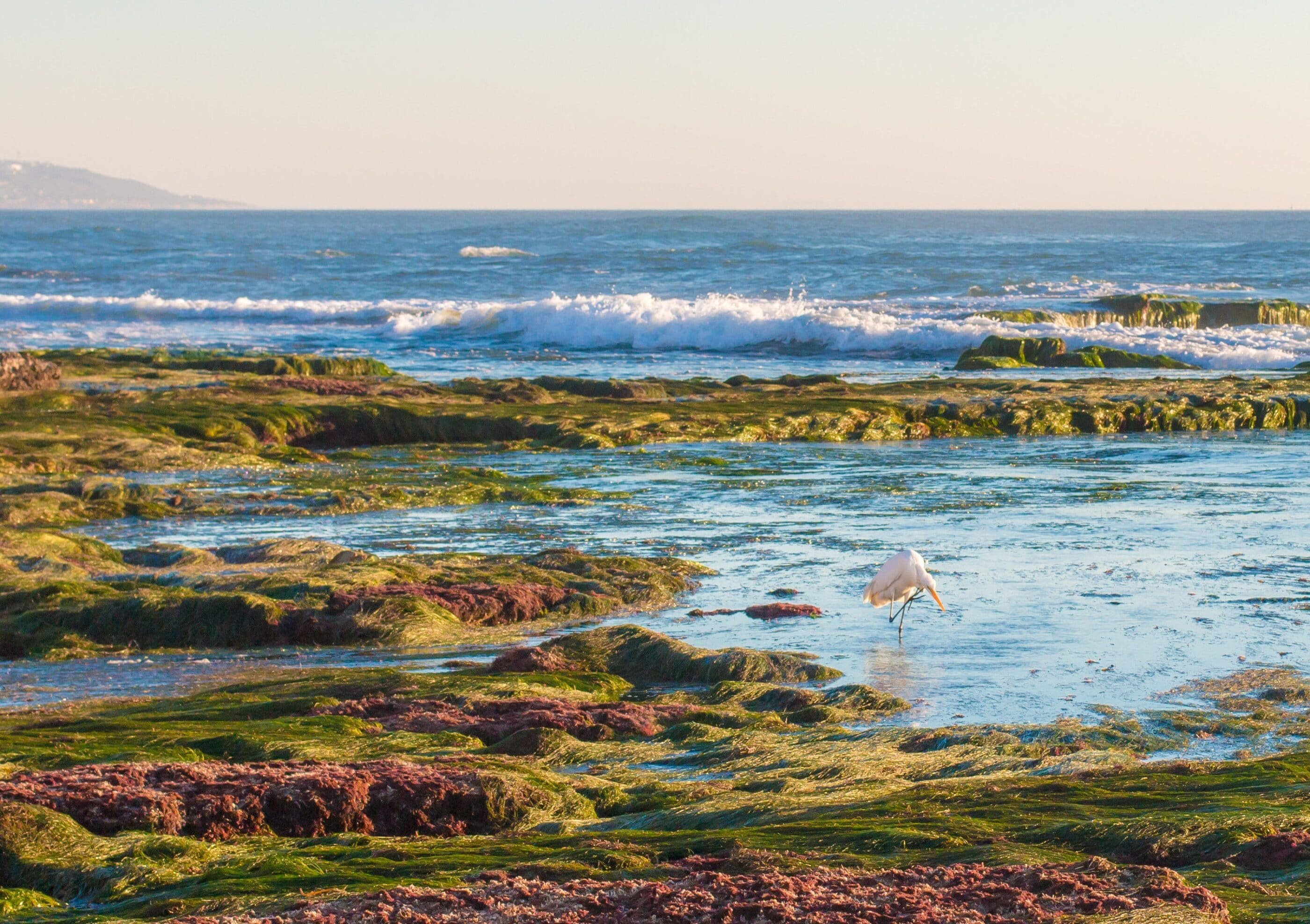 A crane hunts for fish in La Jolla tide pools during November.
