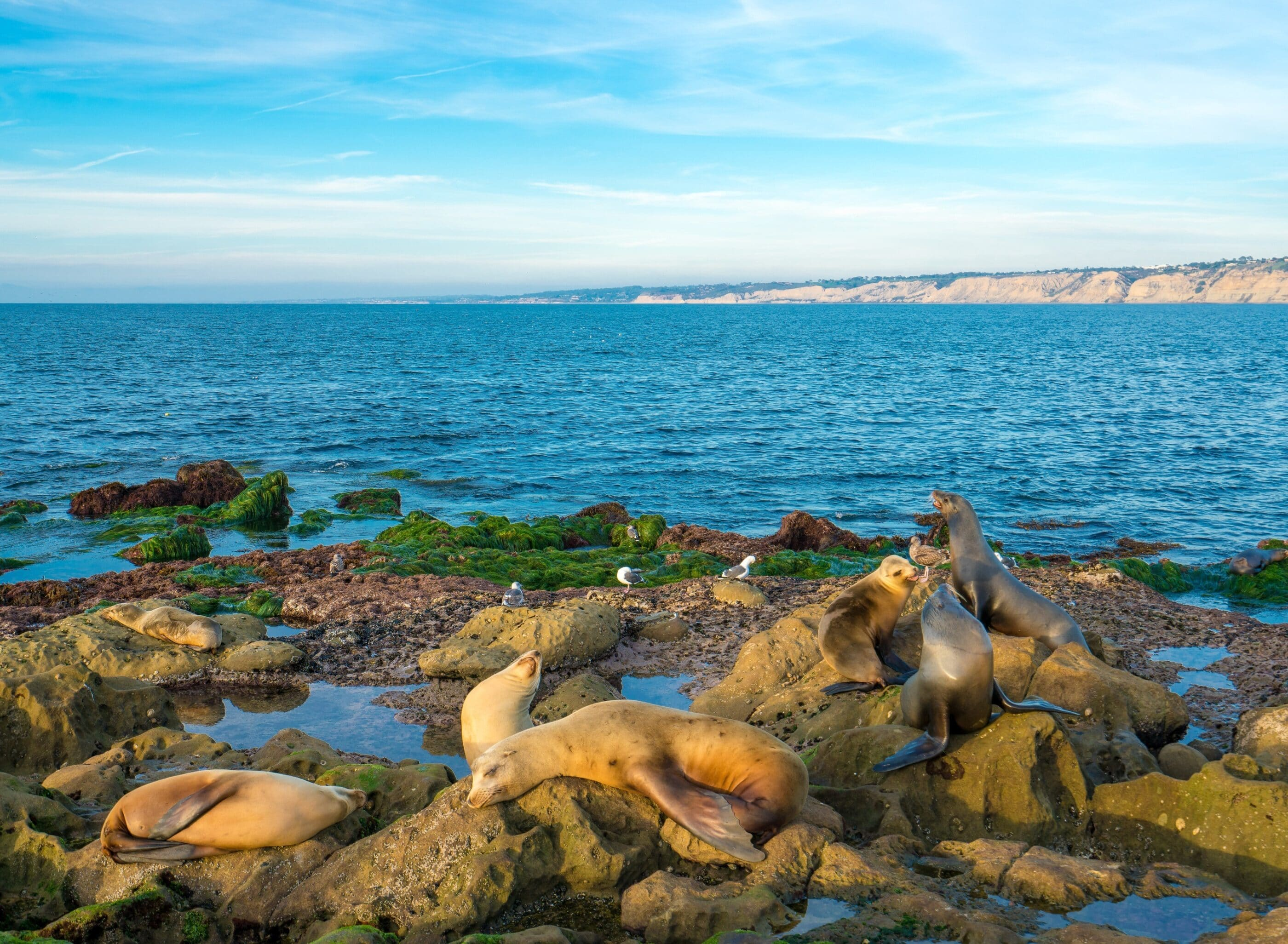 Sea lions hanging out at La Jolla Cove as shot with a SONY a7r ii mirrorless camera.