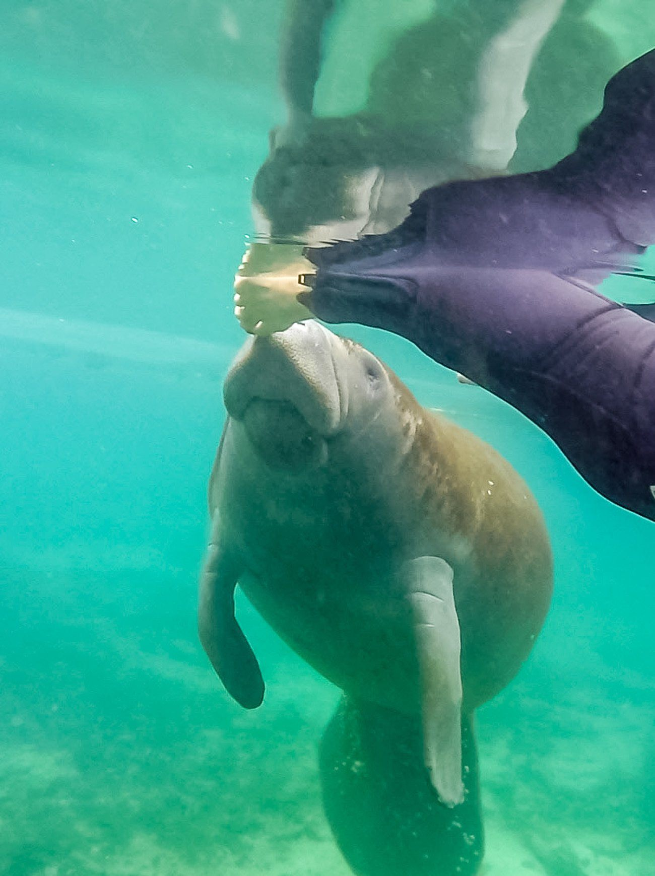 What it's like to observe manatees in the water in Crystal River, Florida.
