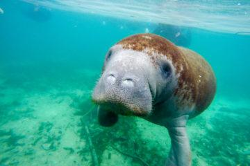 How to swim with manatees in Crystal River, Florida