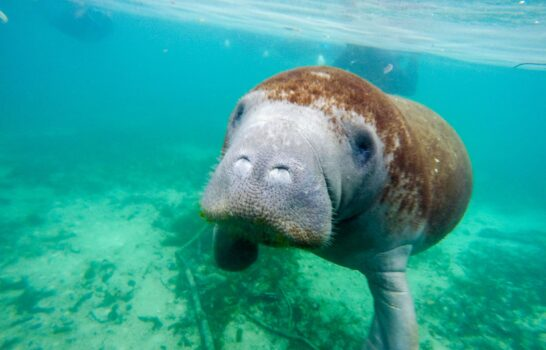 What It's Like to Swim with Manatees in Crystal River, Florida