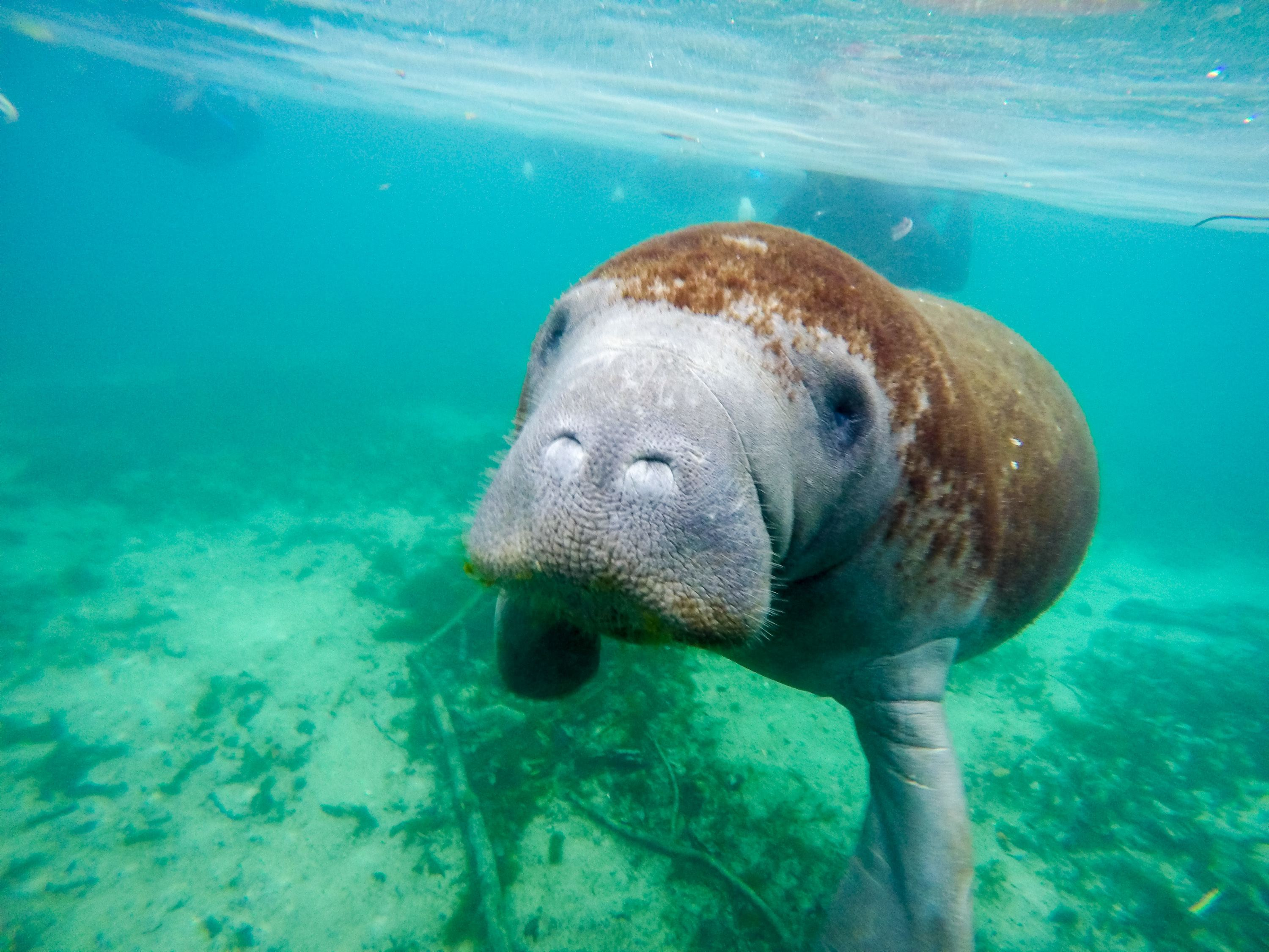 Swim With Manatees In Crystal River Florida La Jolla Mom