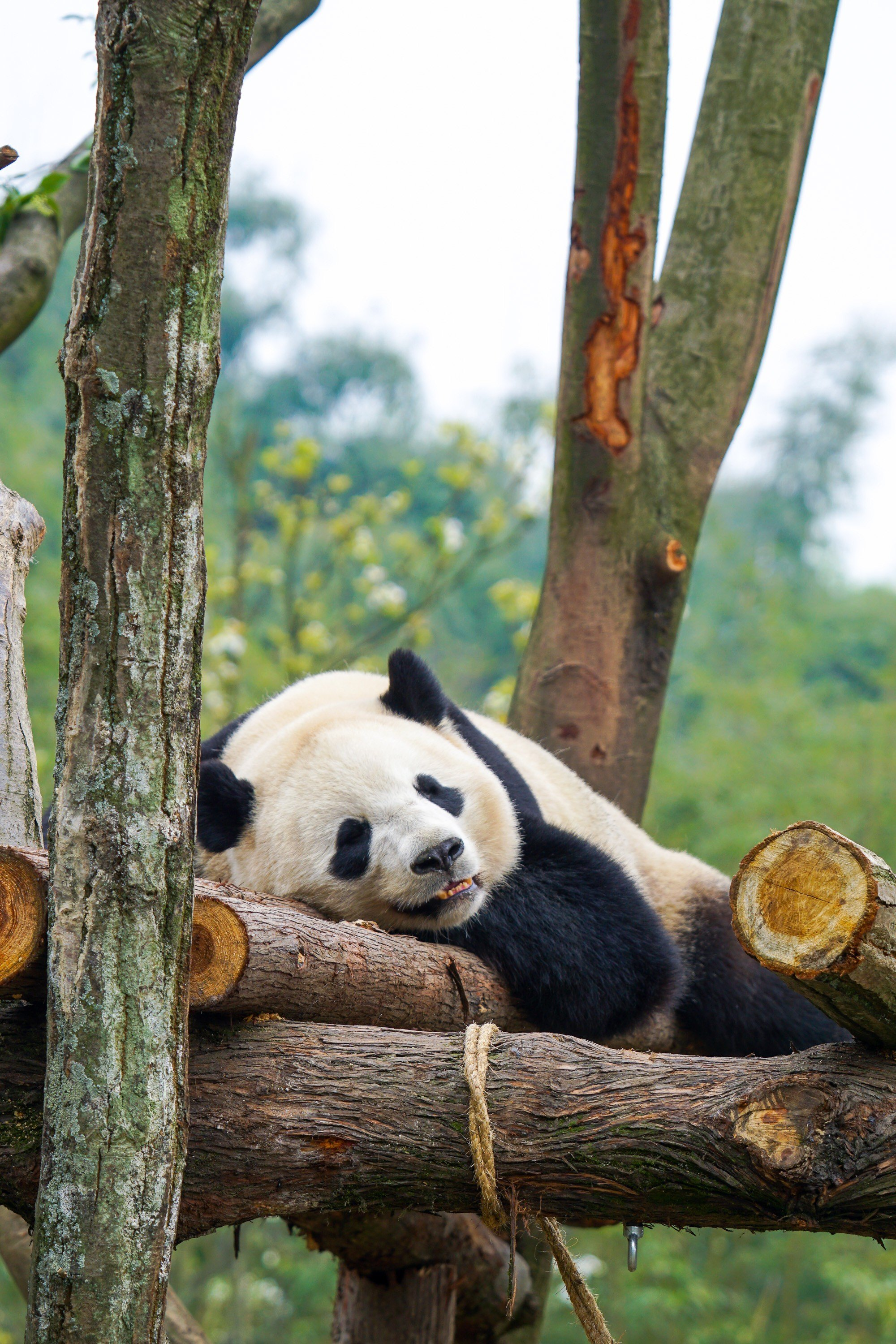 Bao Bao resting at Dujiangyan Panda Base after being transferred from Washington DC Zoo.