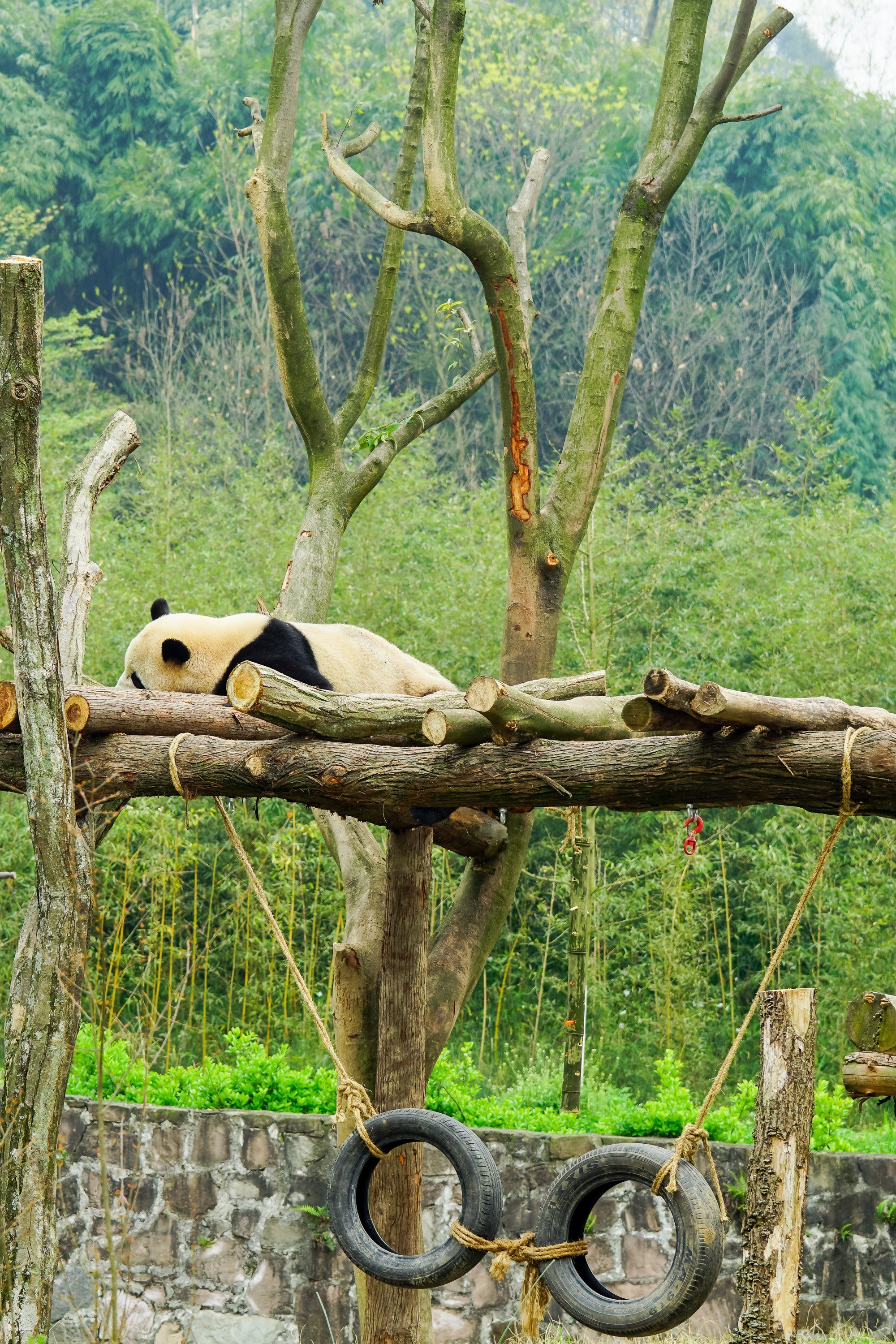 A sleeping panda at Dujiangyan Panda Base in China.