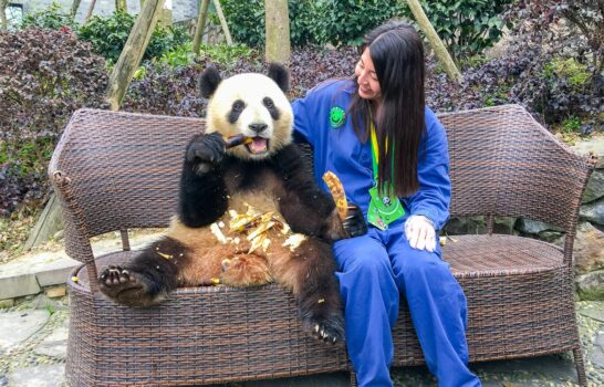 What It's Like to Volunteer at Dujiangyan Panda Base