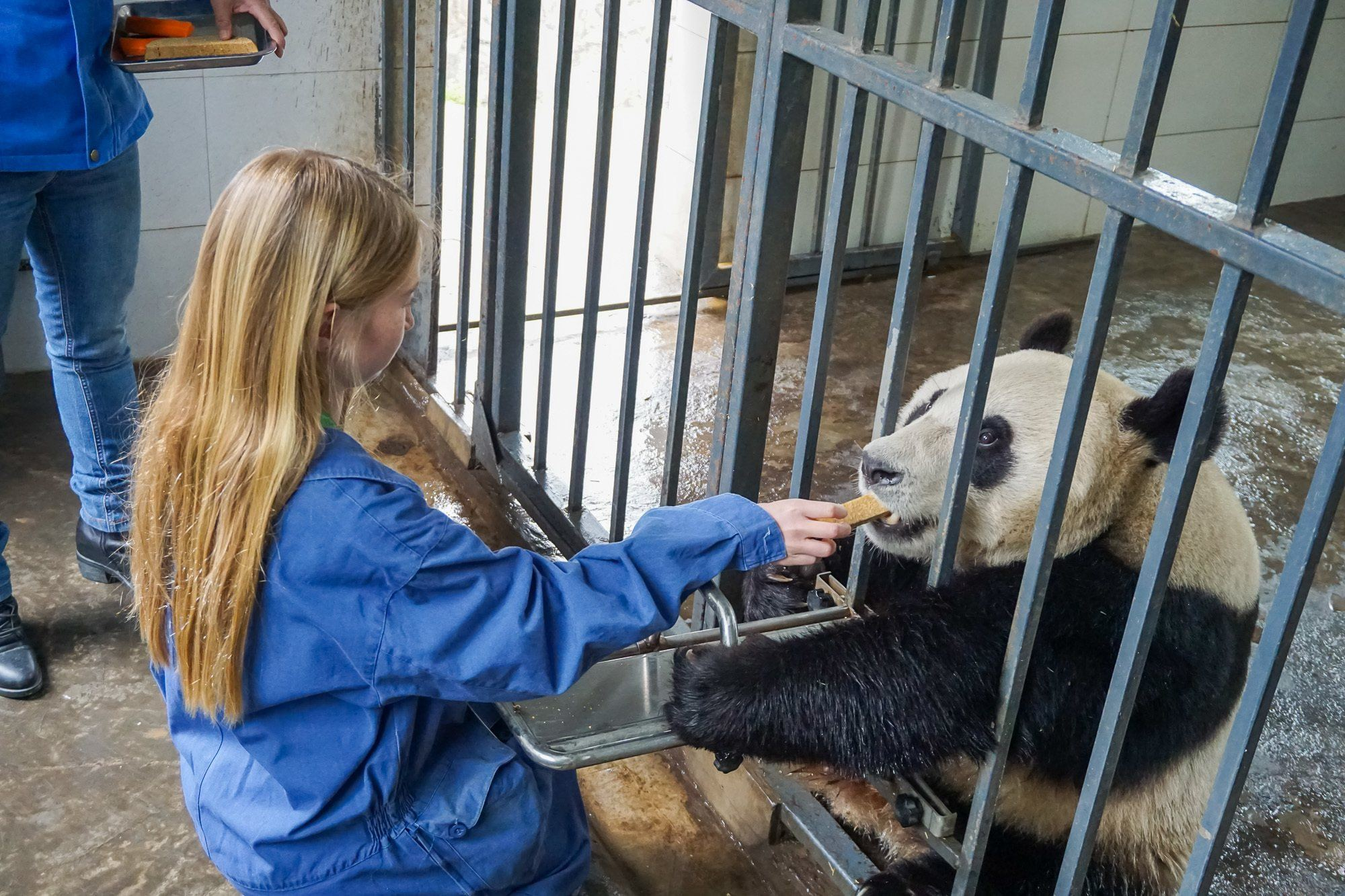 Volunteers at Dujiangyan Panda Base in China can briefly feed pandas.