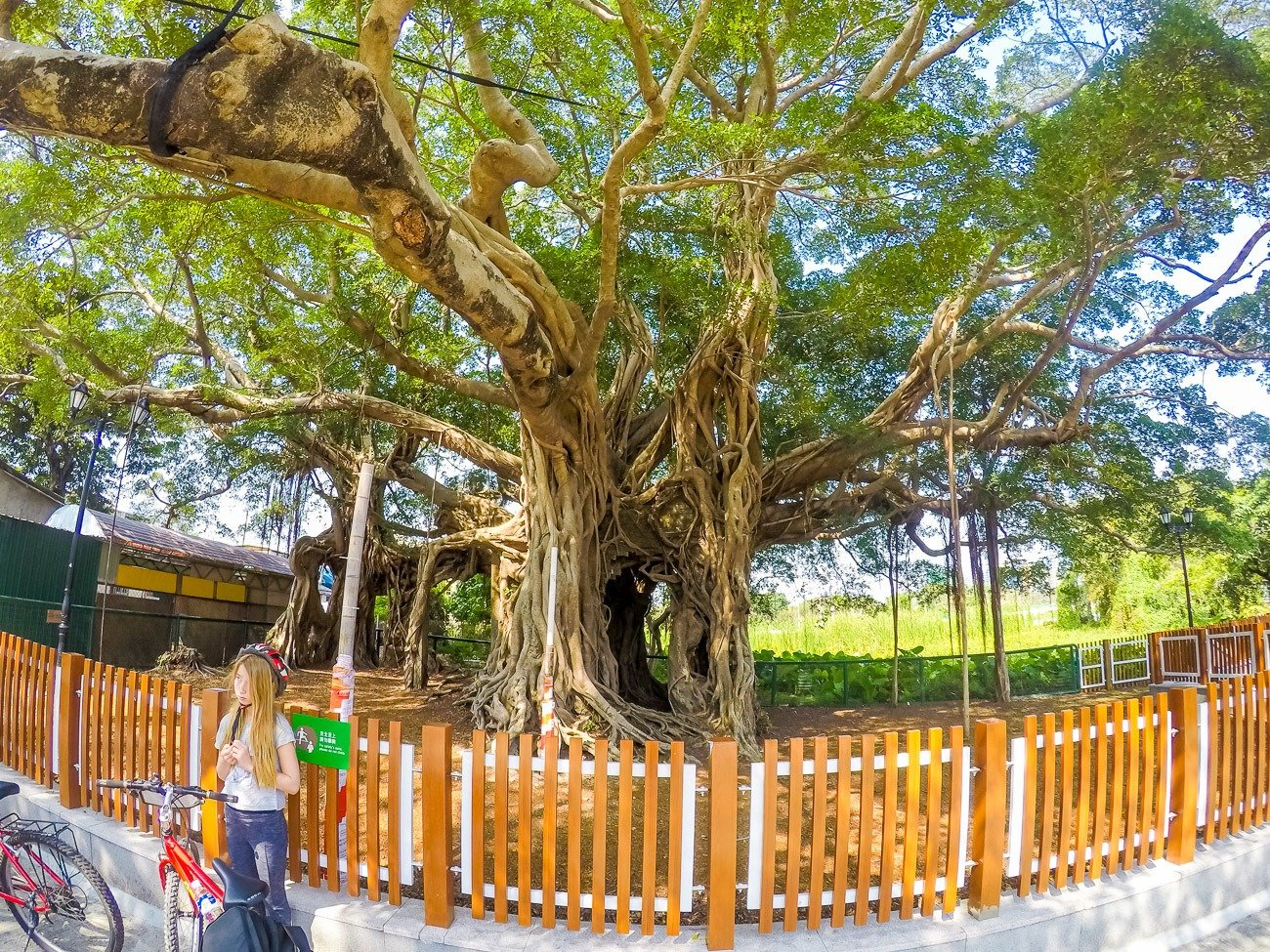 The Kam Tin Tree House is a Banyan tree that has engulfed a house that was abandoned during the Ching period.