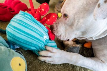 Barkbox Destroyer's Club has dog toys for every type of destroyer.