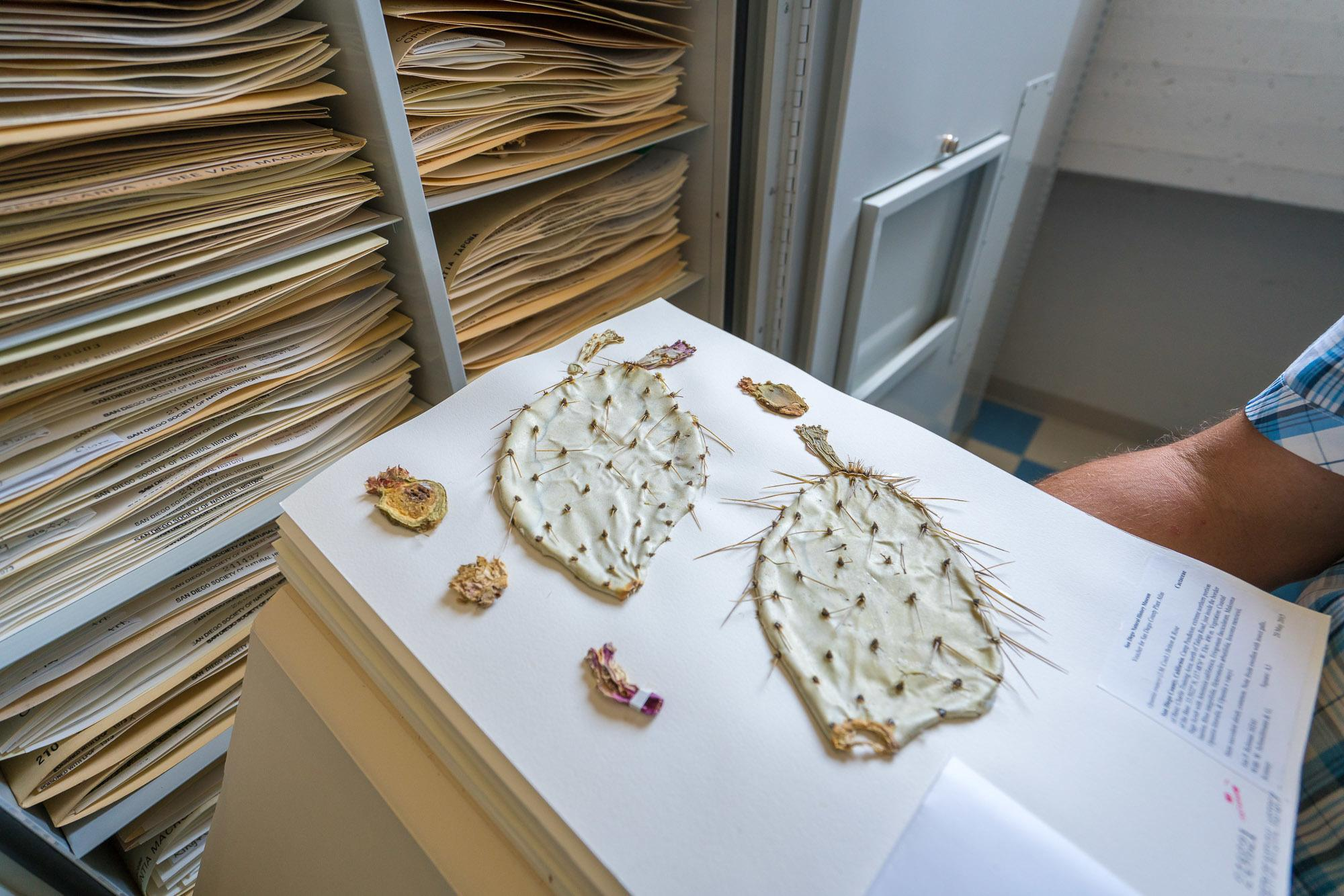 Over 250,000 plant specimens, mostly from San Diego and the Baja California peninsula are stored and used for research at the San Diego Natural History Museum.