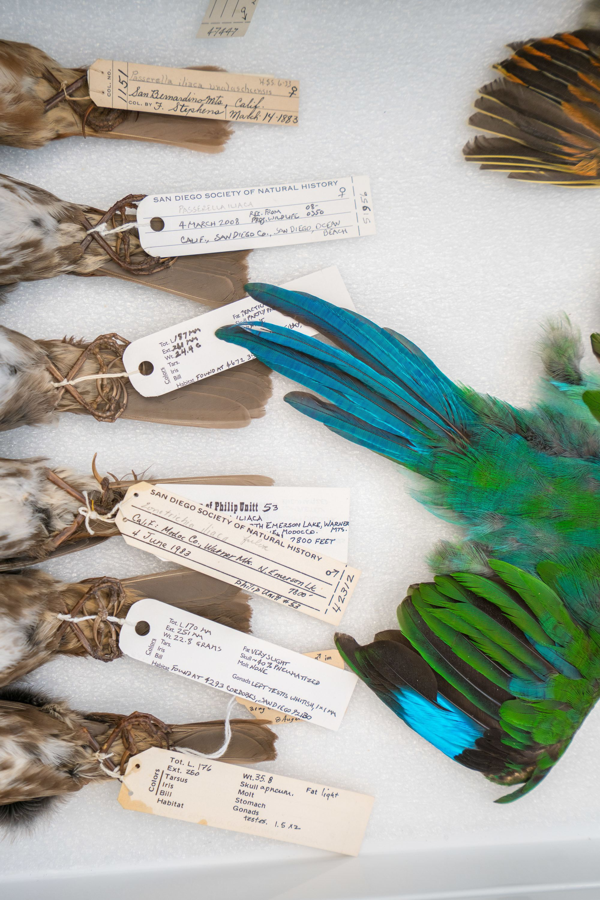 The sparrow collection at San Diego Natural History Museum dates back to 1883.