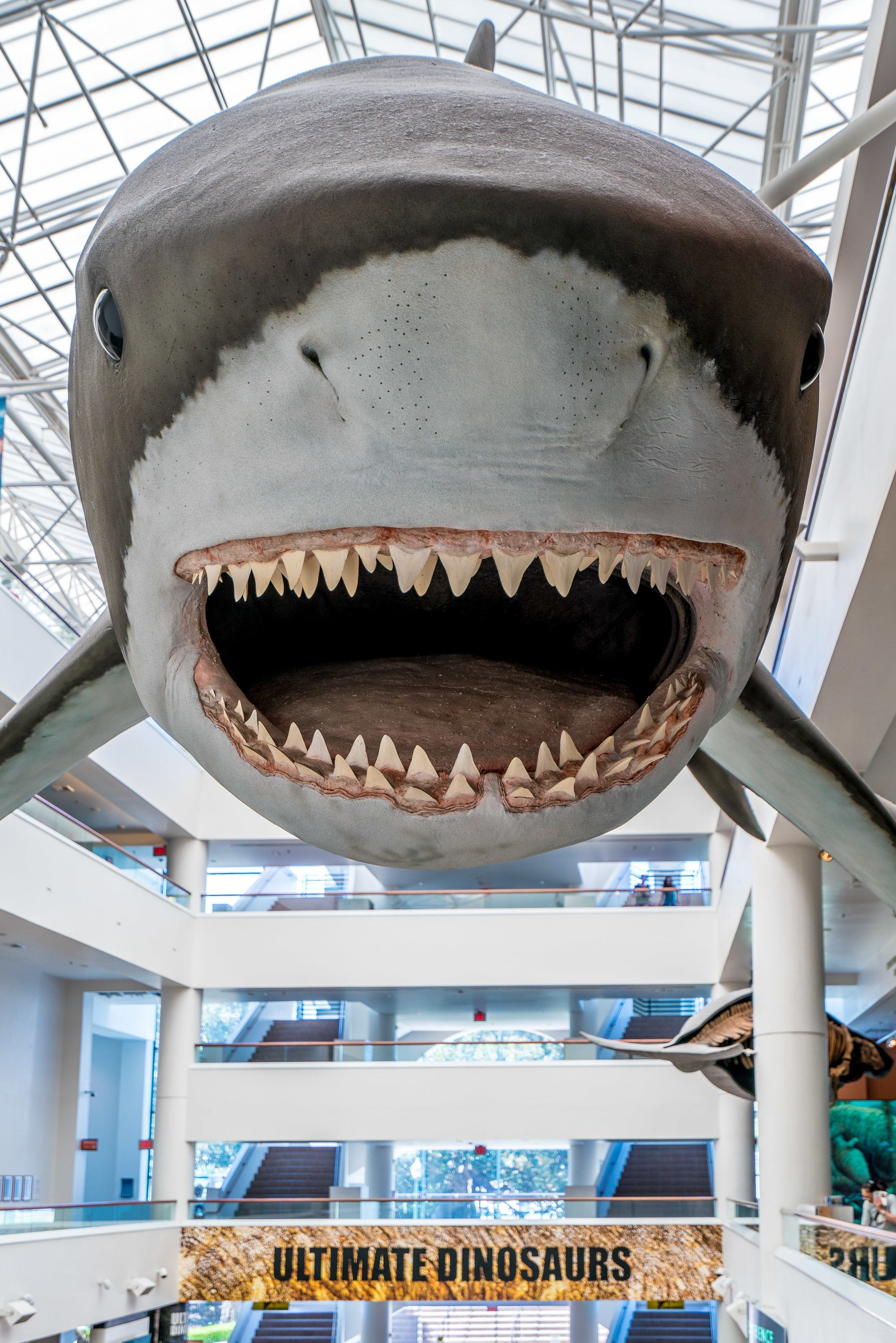 Meg the Megalodon at the San Diego Natural History Museum.