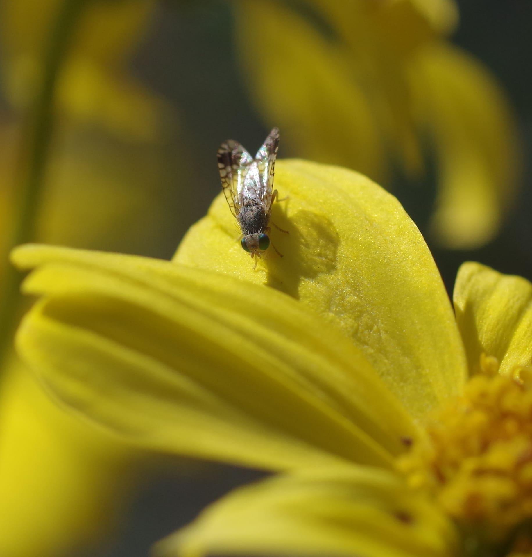 Un test de mouche des fruits dans un laboratoire du parc d'État du désert d'Anza-Borrego