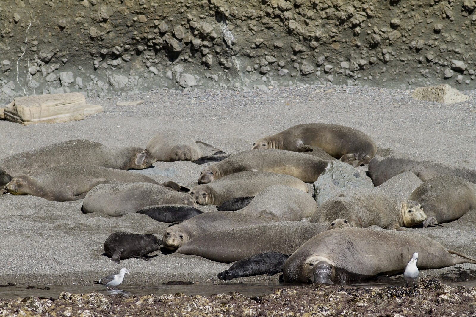 Elephant seals on the Coronado Islands, Mexico
