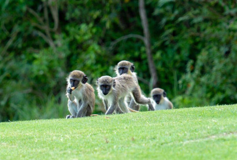 four seasons nevis monkeys