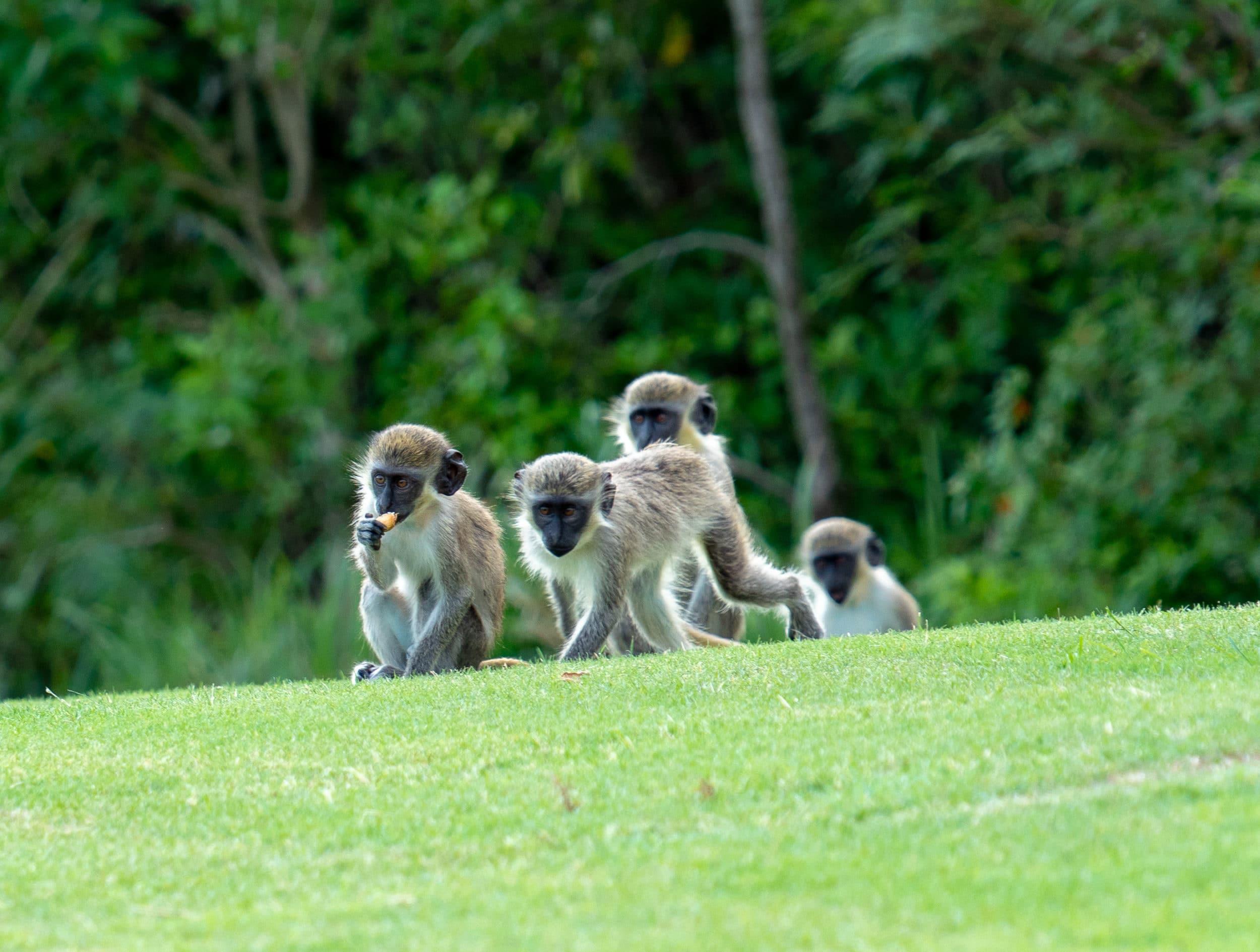 Monkeys on the Four Seasons Nevis golf course