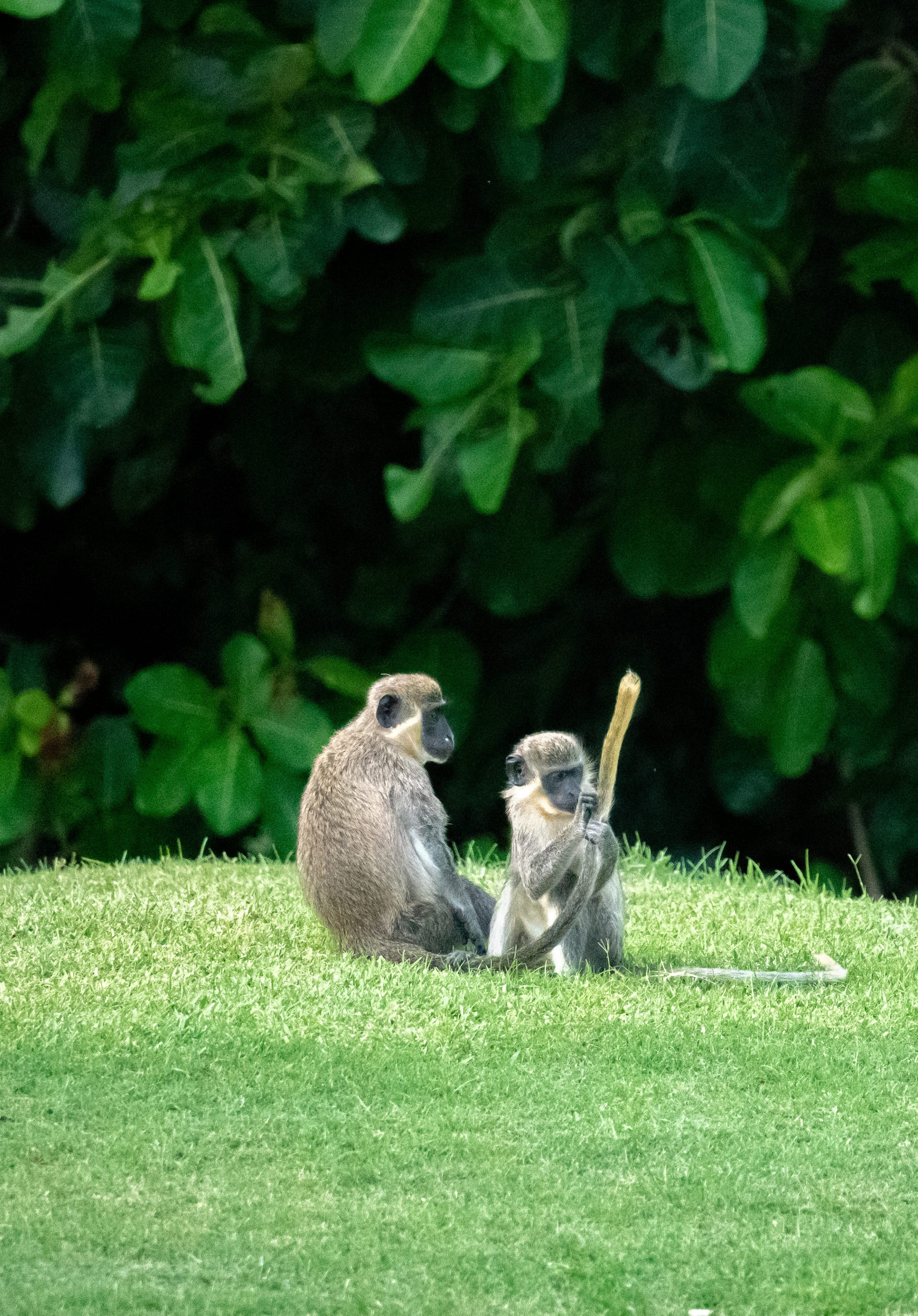 Monkeys on the golf course at Four Seasons Nevis