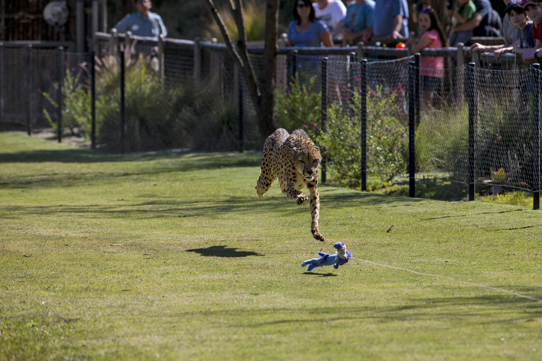 The Cheetah Run at San Diego Zoo Safari Park