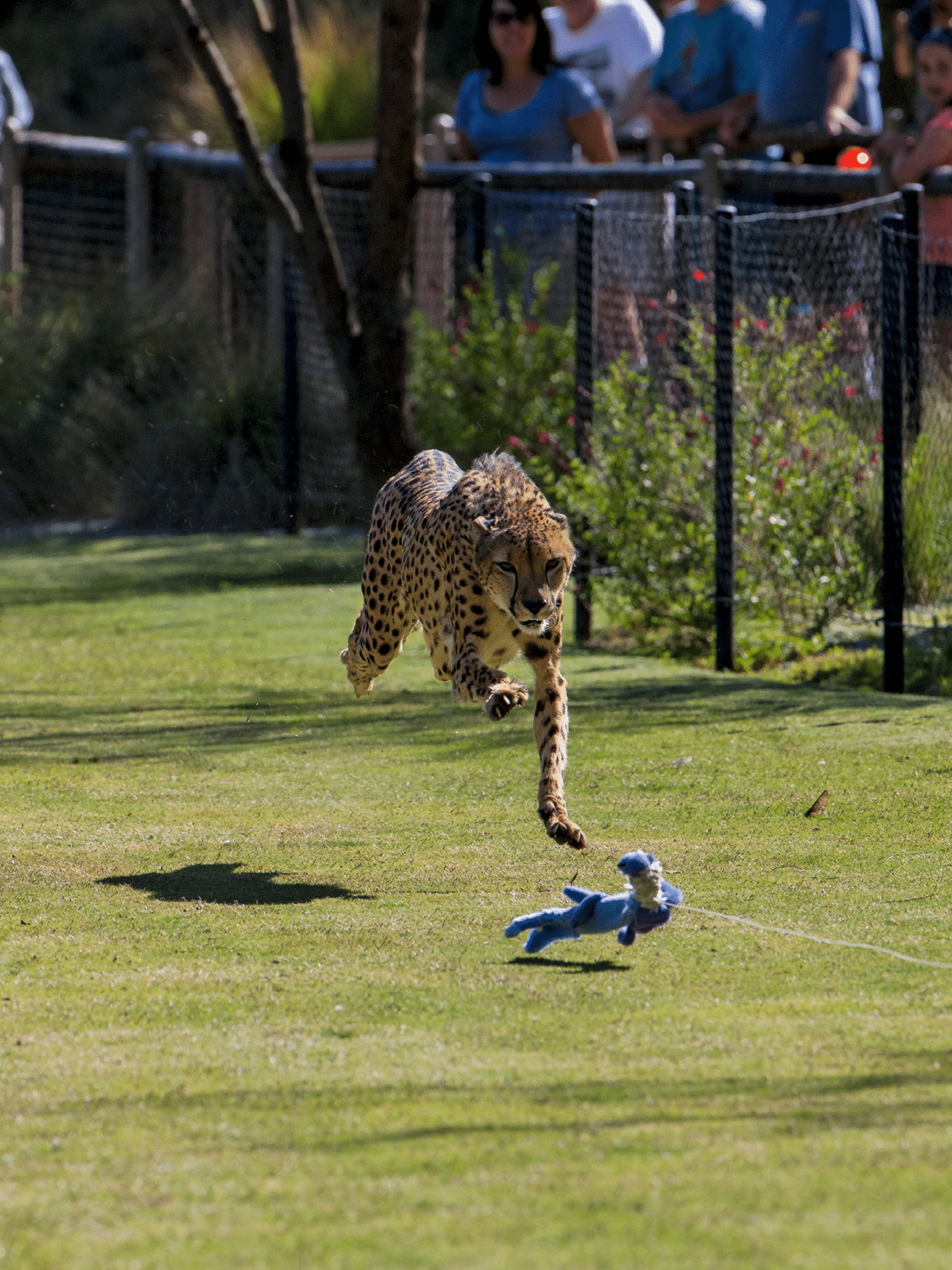 Cheetah Run at San Diego Zoo Safari Park is not-to-be-missed!