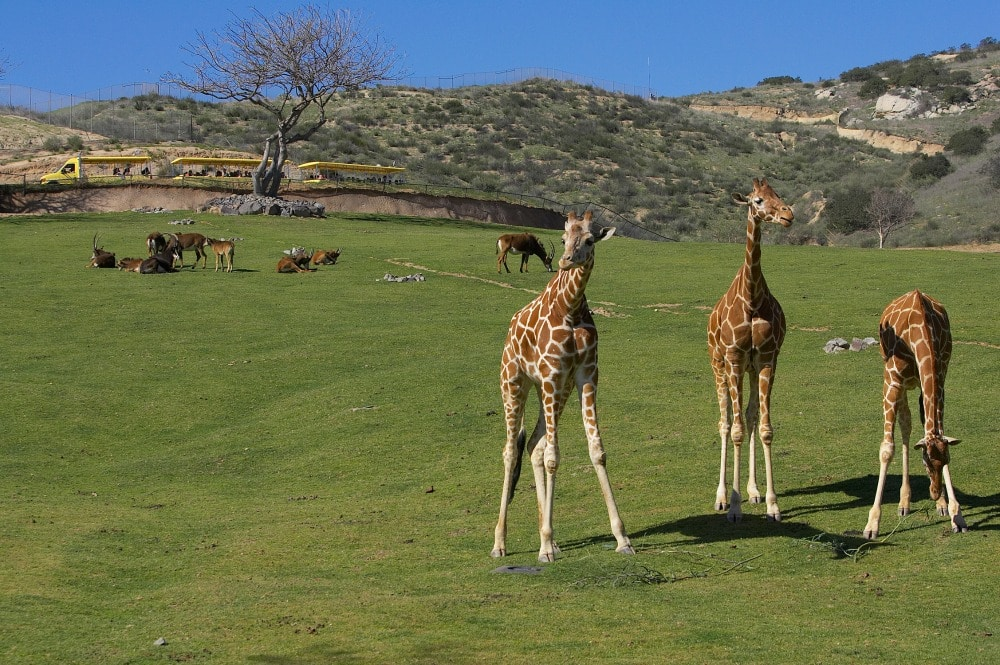 Things to do in San Diego with kids: San Diego Zoo Safari Park