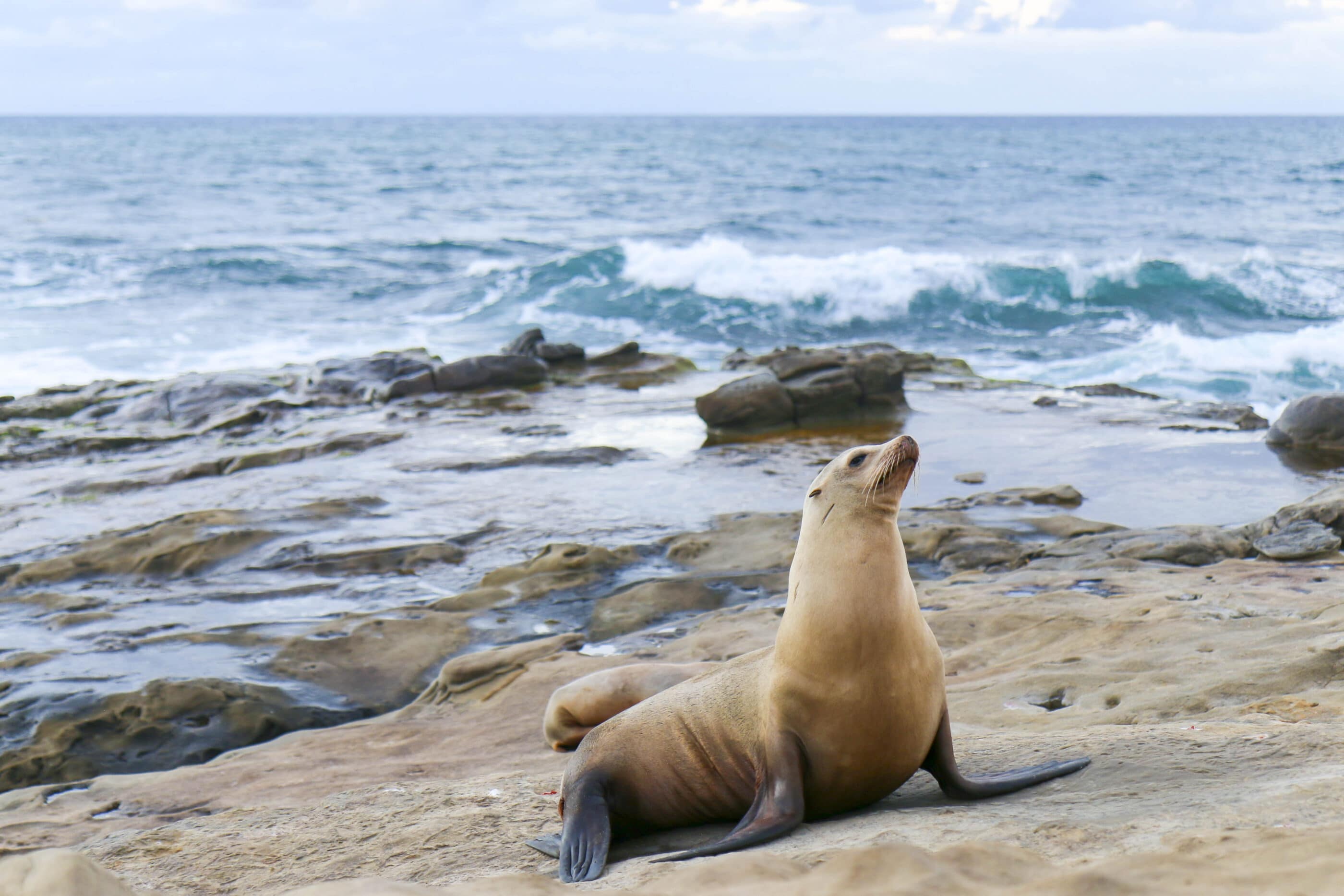 A sea lion on the rocks at La Jolla Cove, one of our best attractions.