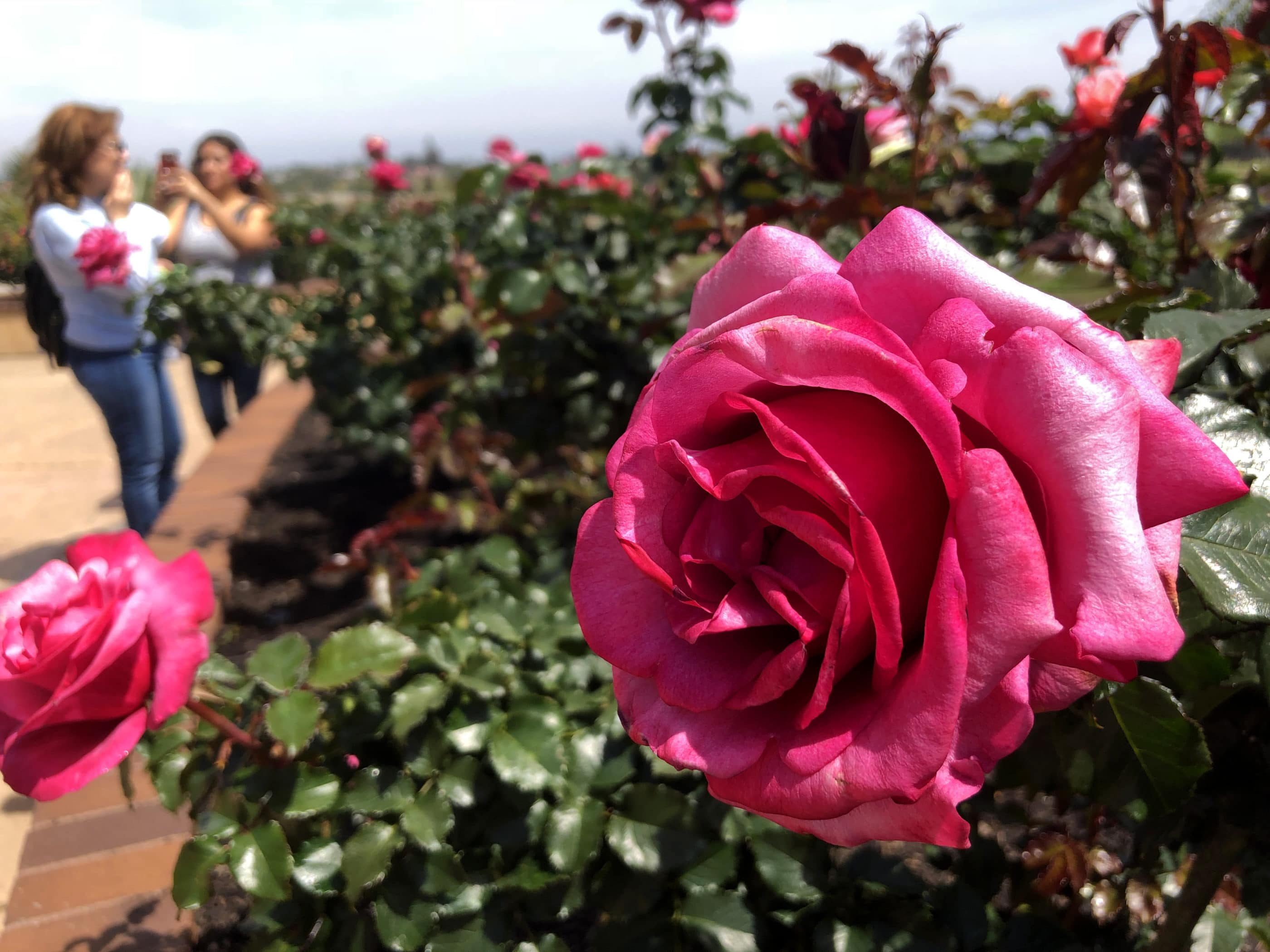Things to do in Balboa Park: Inez Grant Memorial Rose Garden