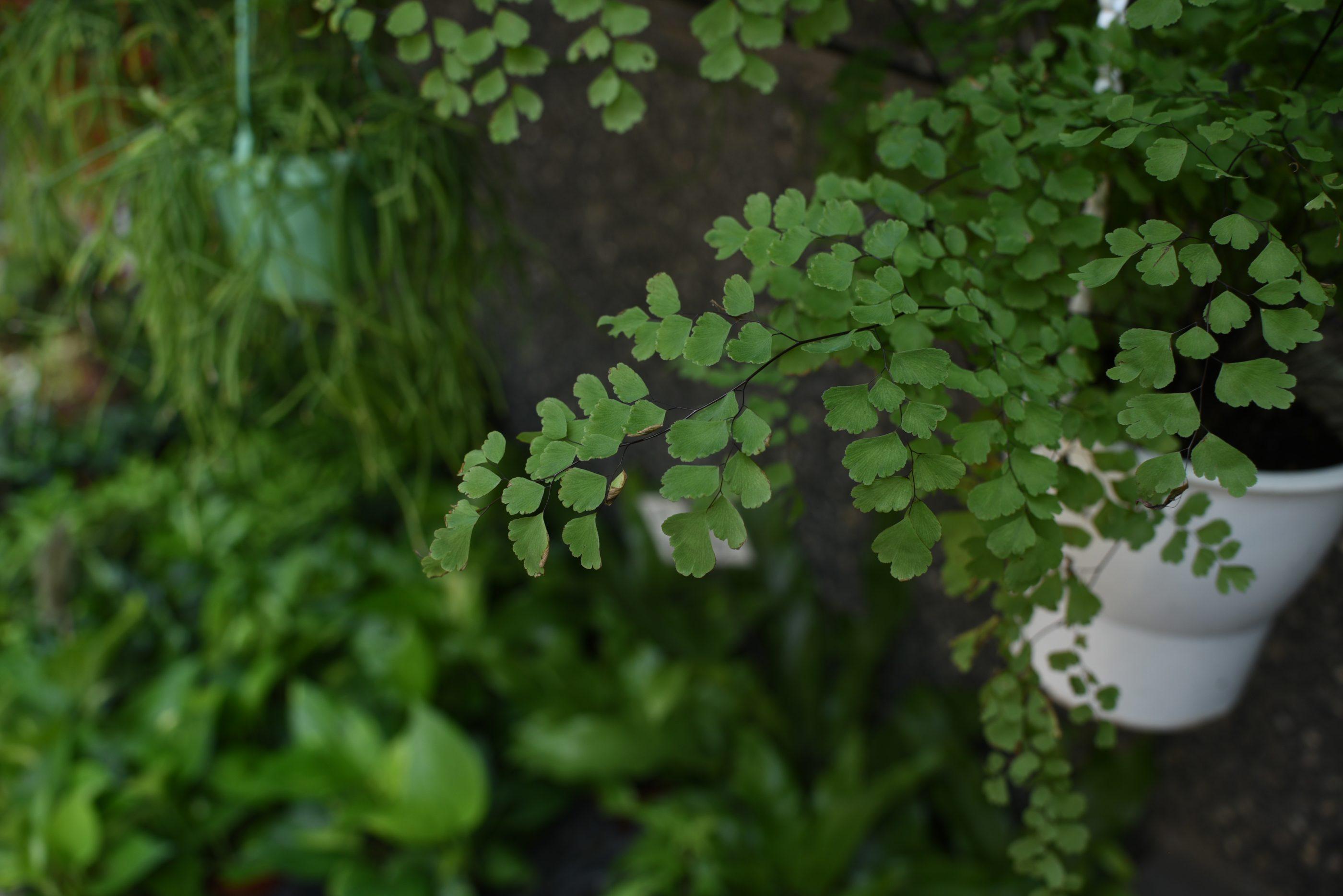 Shade house plant: adiantum capillus-veneris