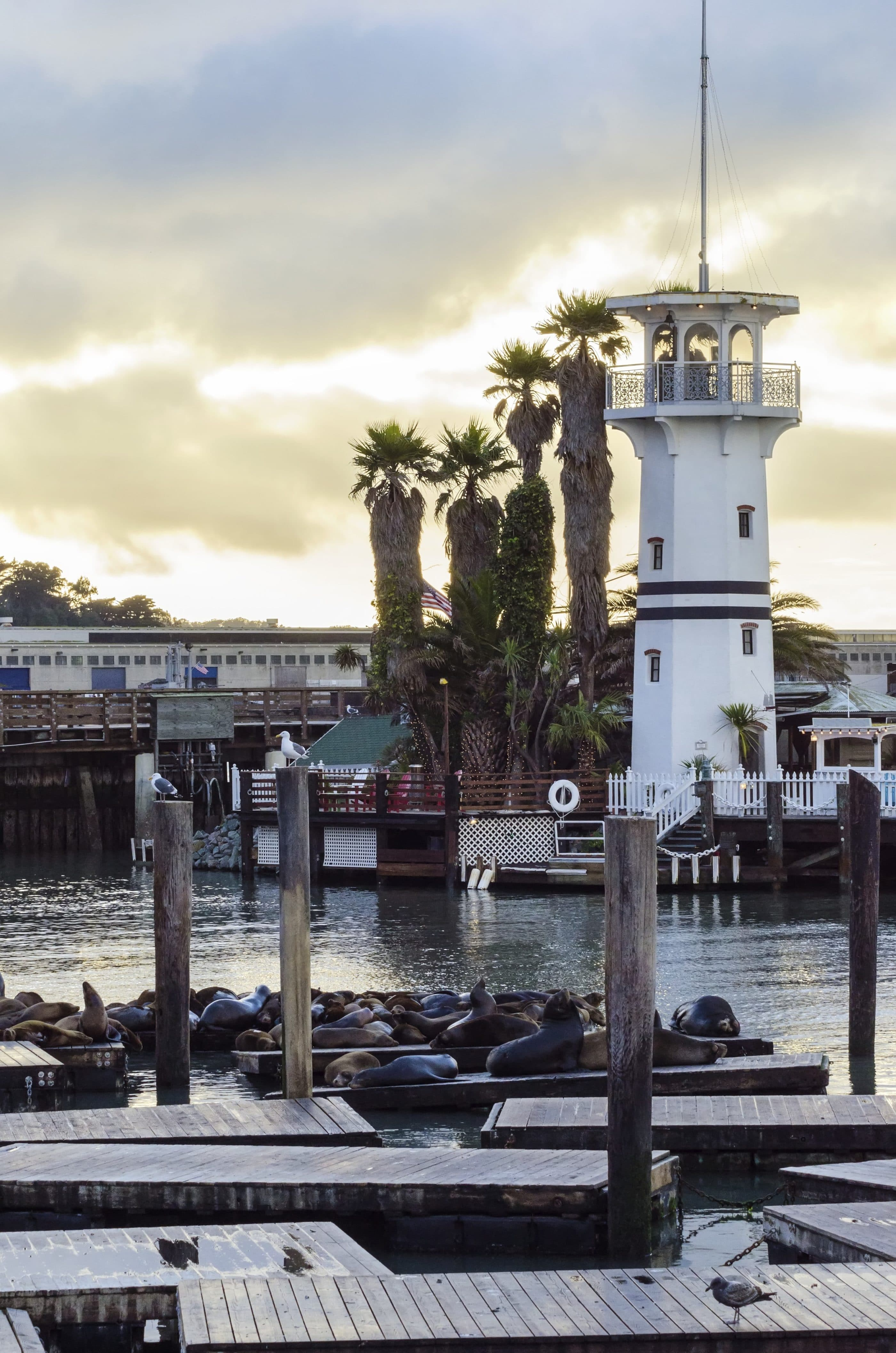 Pier 39 sea lions lounging with the lighthouse in the background.
