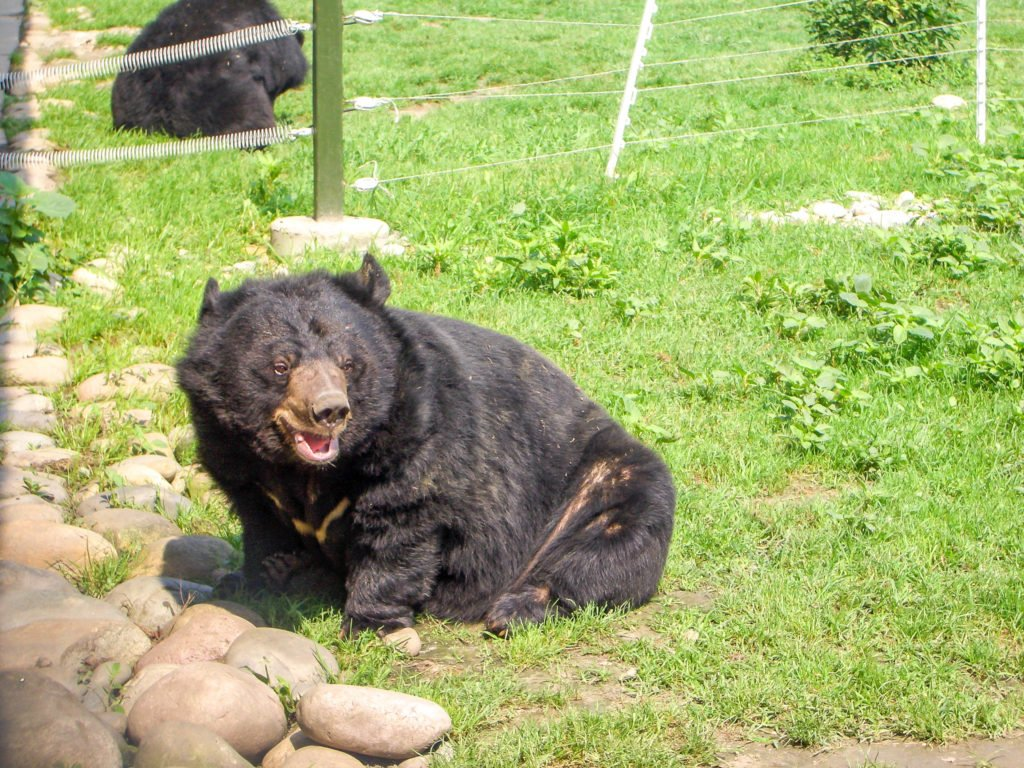 A close-up of a moon bear on grass at the Animals Asia China Bear Sanctuary