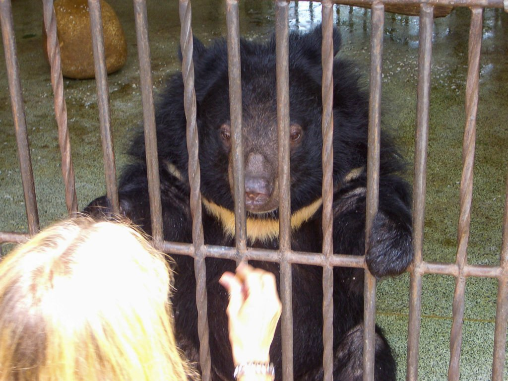 Jill feeding a moon bear named Franzi a dog biscuit.