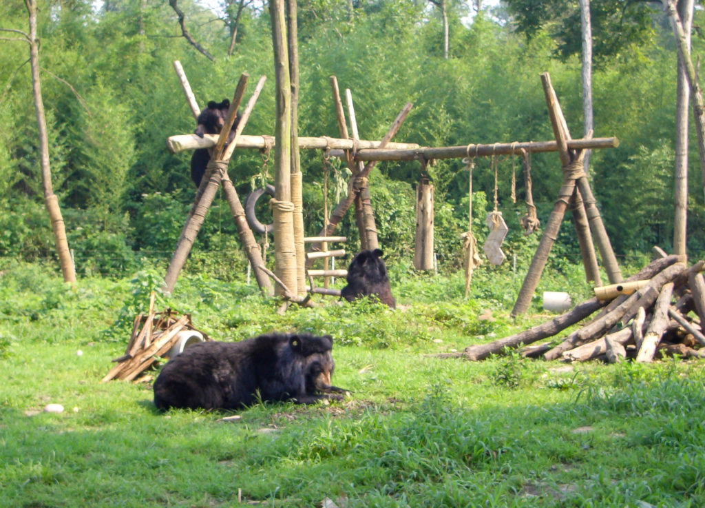 Moon bears playing at the China Bear Sanctuary