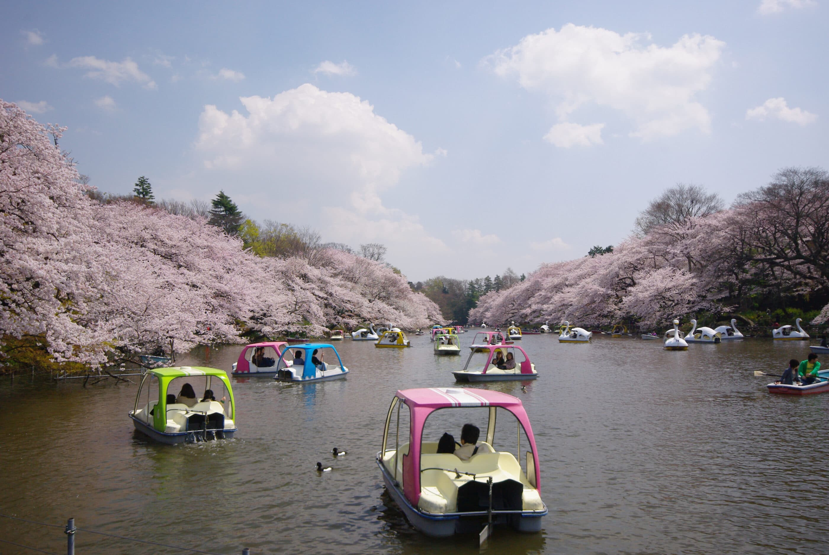 Pedal and swan boats on the lake during cherry blossom season in Inokashira Park, Tokyo.