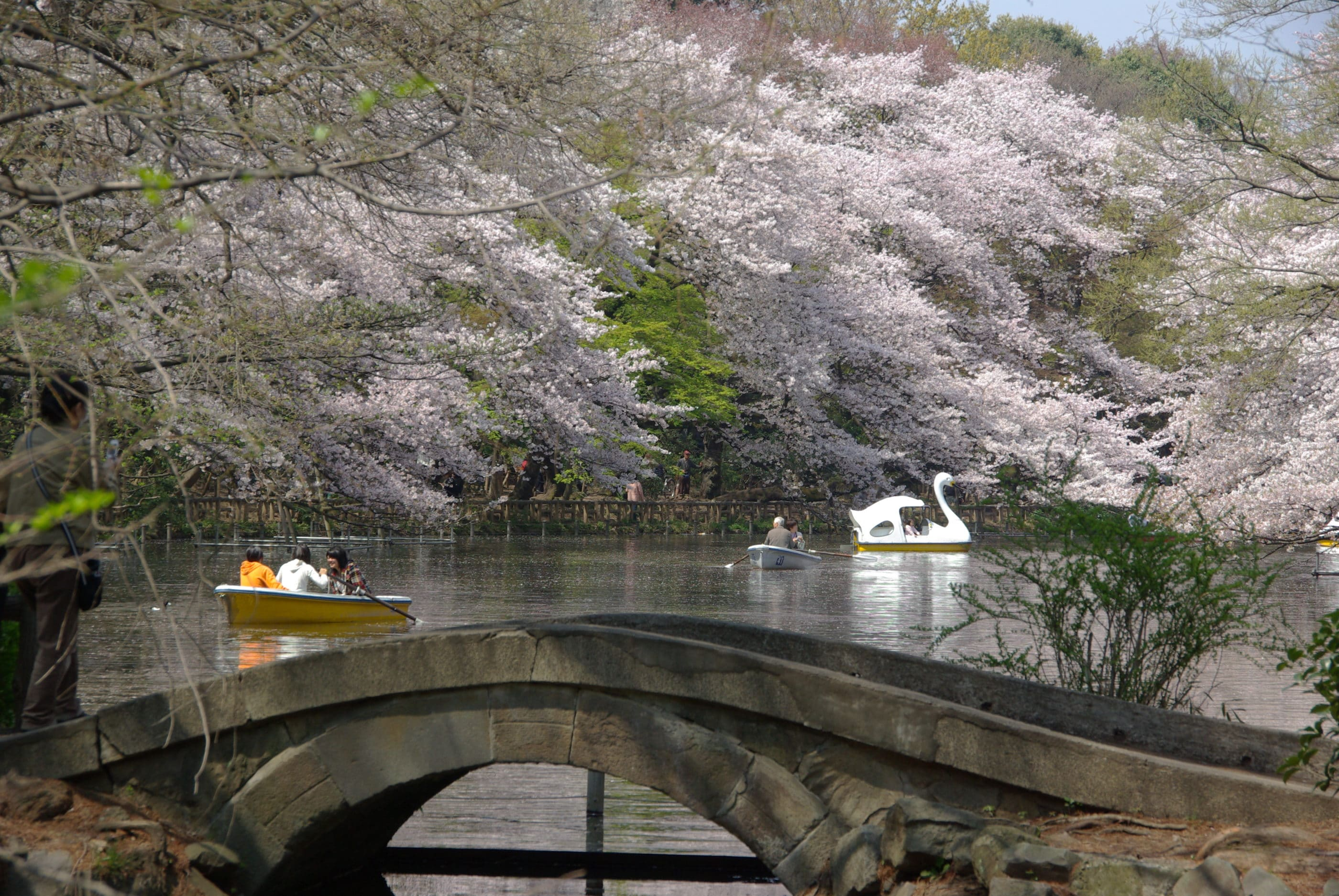 Swan boat and row boat gliding on the lake with a backdrop of cherry blossoms at Inokashira Park in Tokyo.