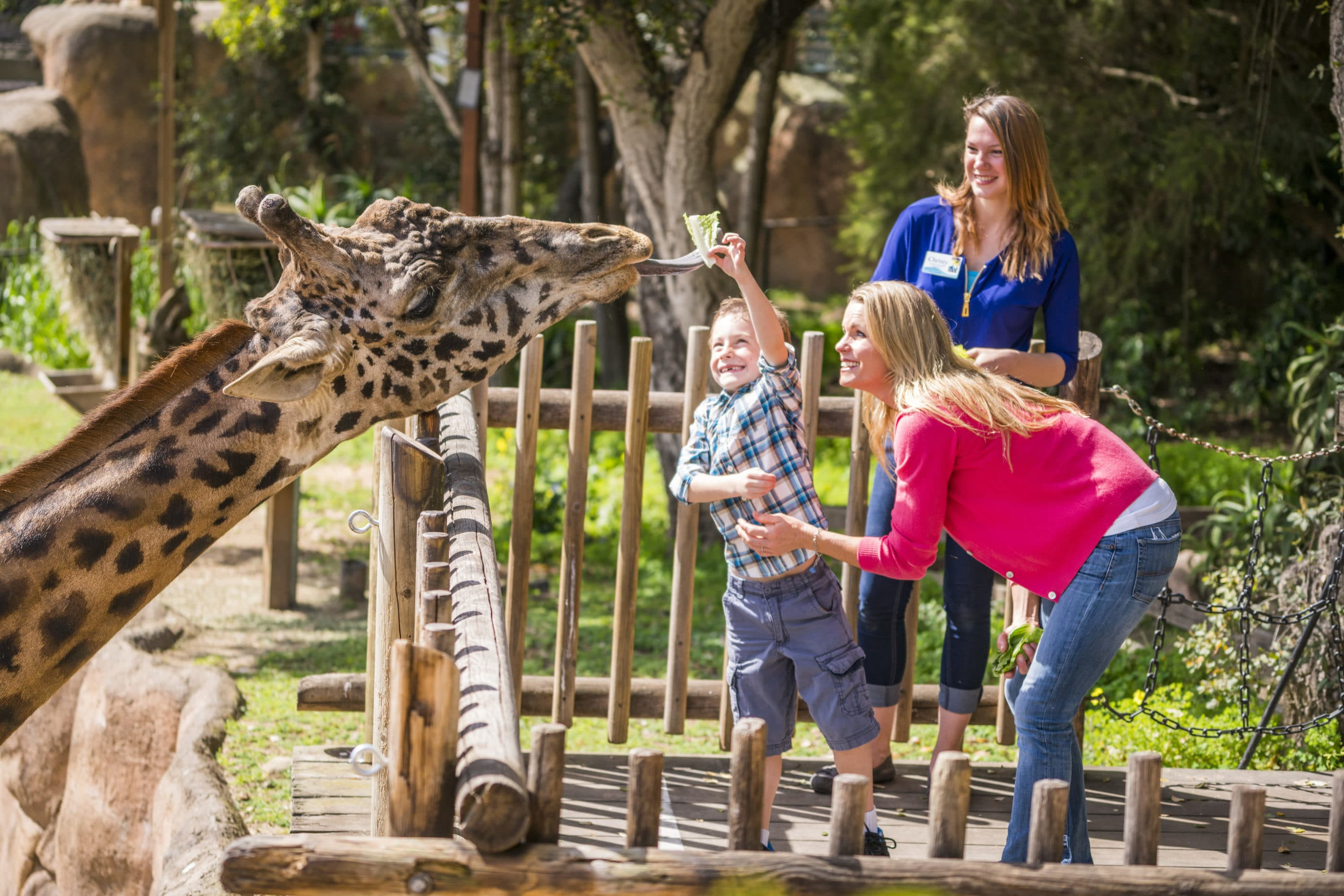 A little boy feeds a giraffe lettuce at the Santa Barbara Zoo.