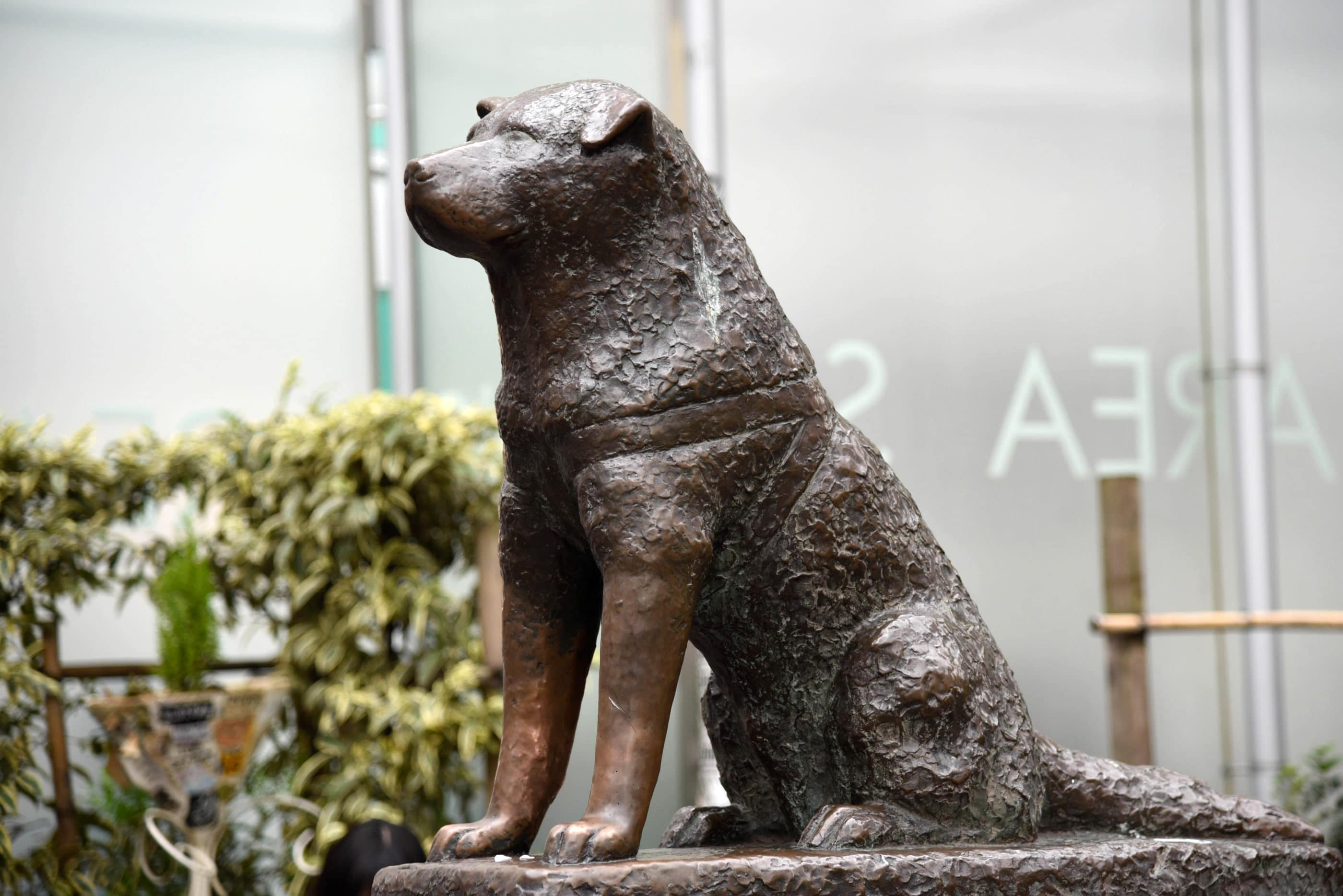 Bronze statue of Hachiko, the loyal Akita who waited for his owner at Shibuya Station for nine years.