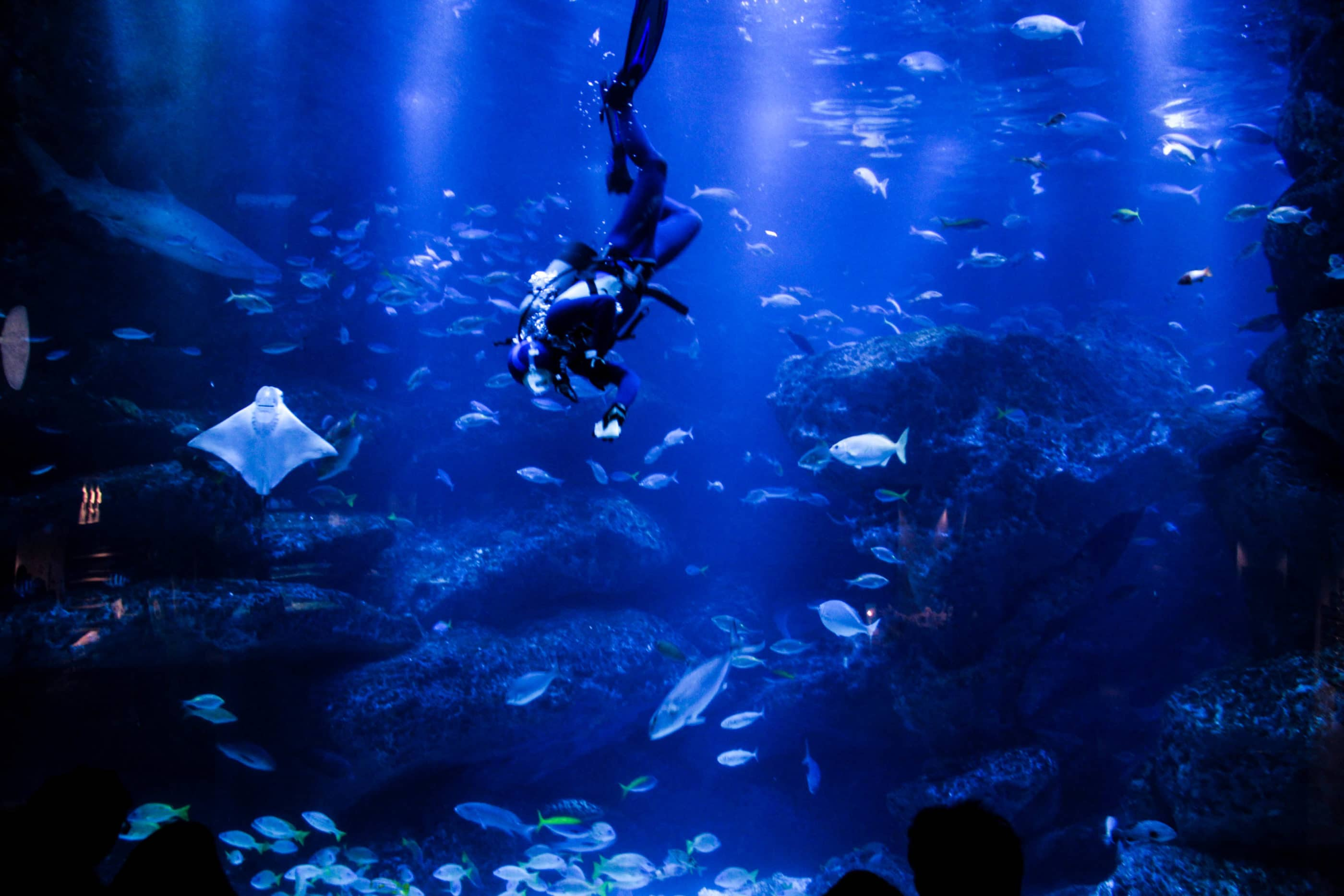 Diver in a tank with rays and fish at Sumida Aquarium.