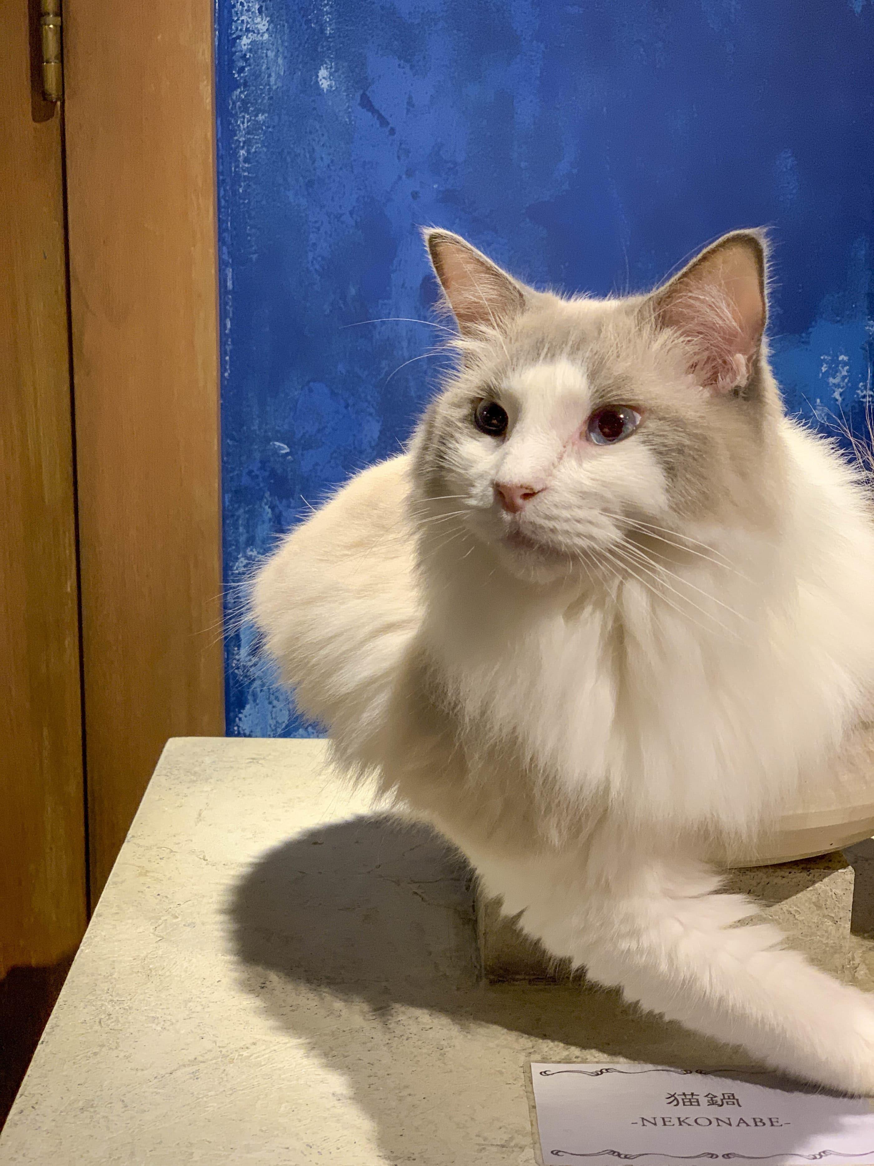 A white cat ready to play inside Mocha cat cafe in Harajuku.
