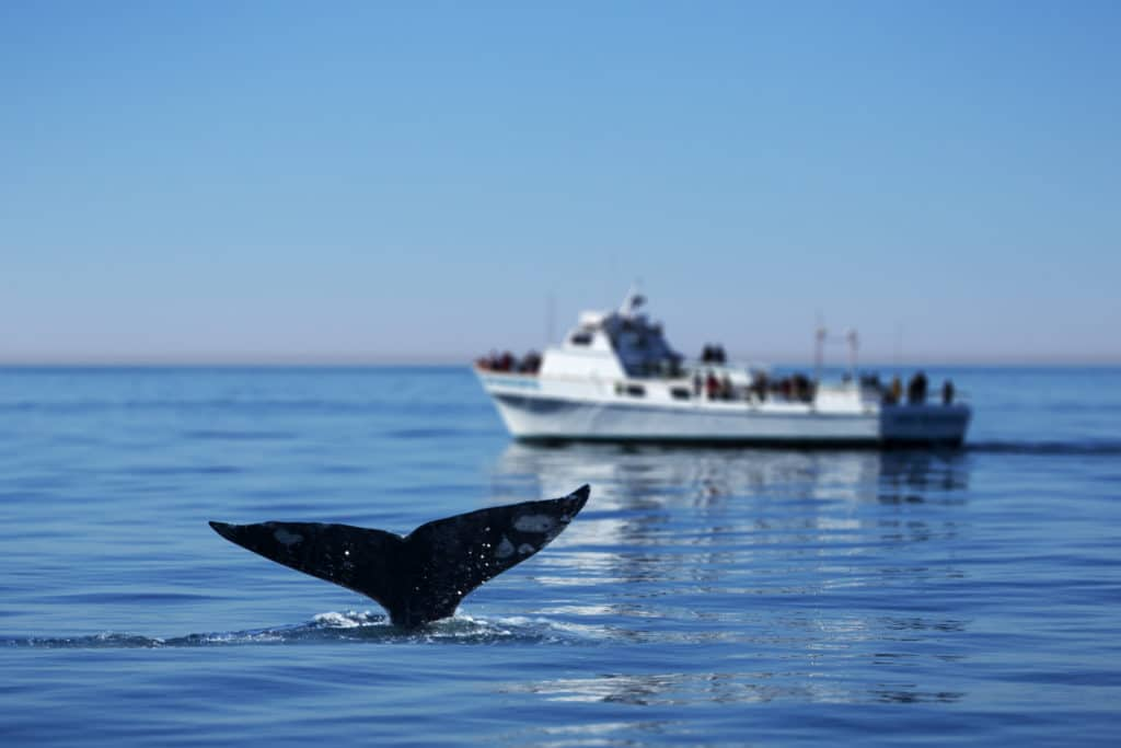 A whale tail sticking out of the ocean with a boat of onlookers in the distance
