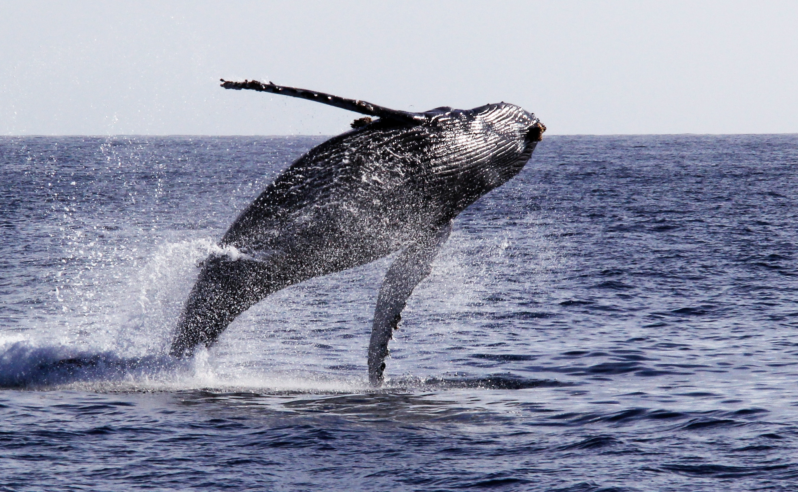 A large humpback whale breaches out of the water in the Pacific Ocean near San Diego.