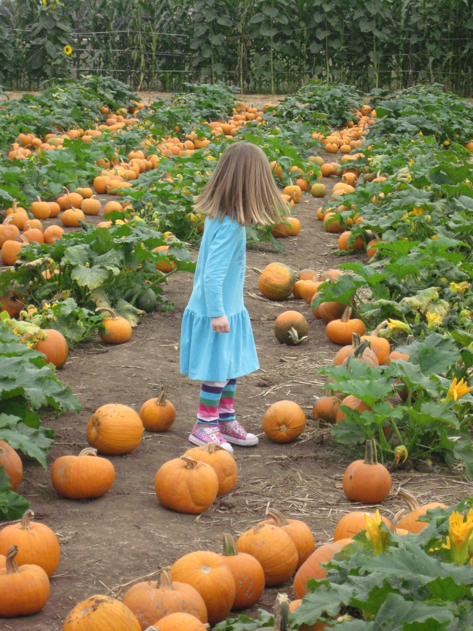 A little girl in rows of pumpkins at Del Mar's Pumpkin Station.