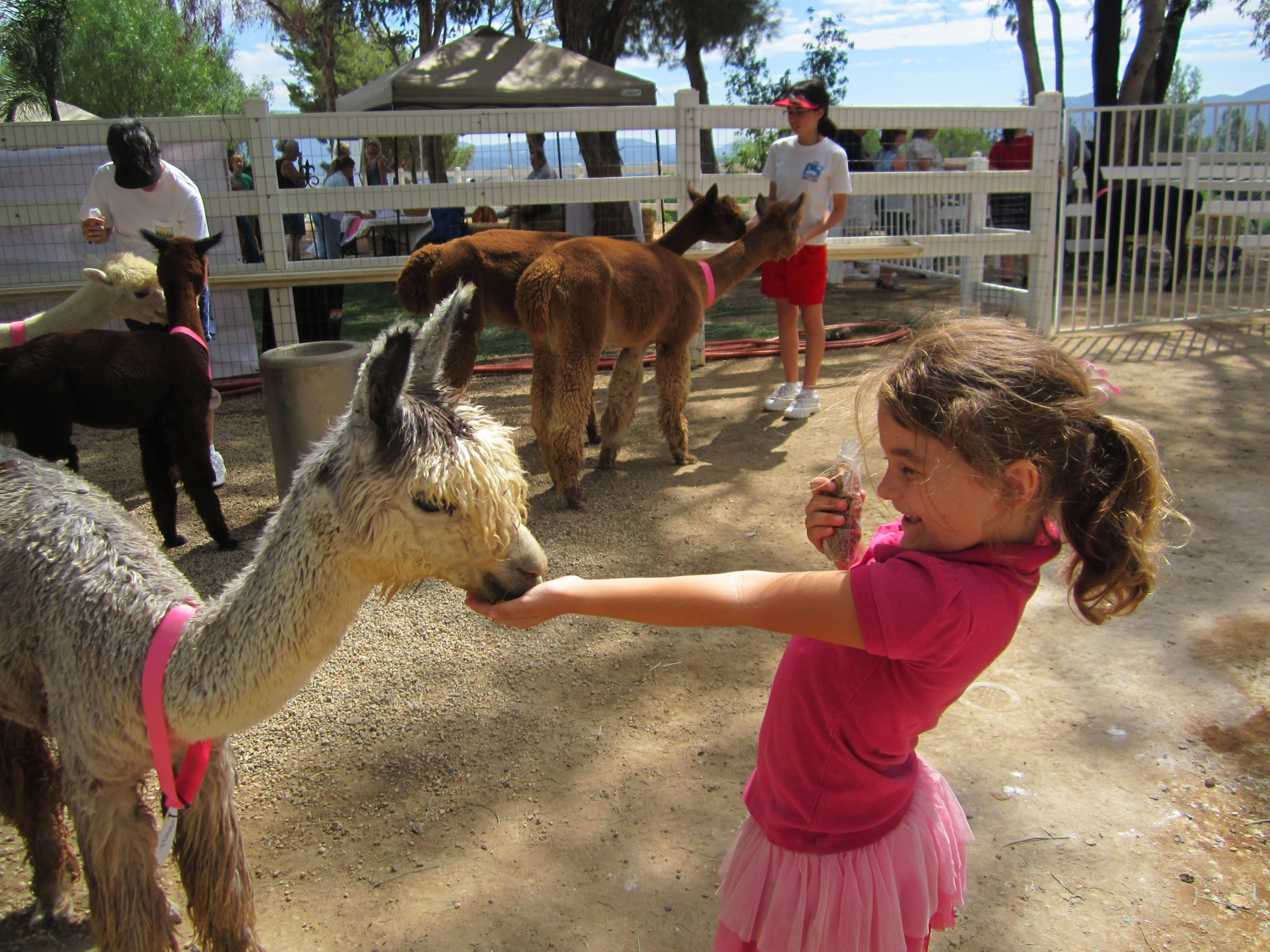 A little girl feeds a an alpaca in a corral with other people feeding alpacas in the background.