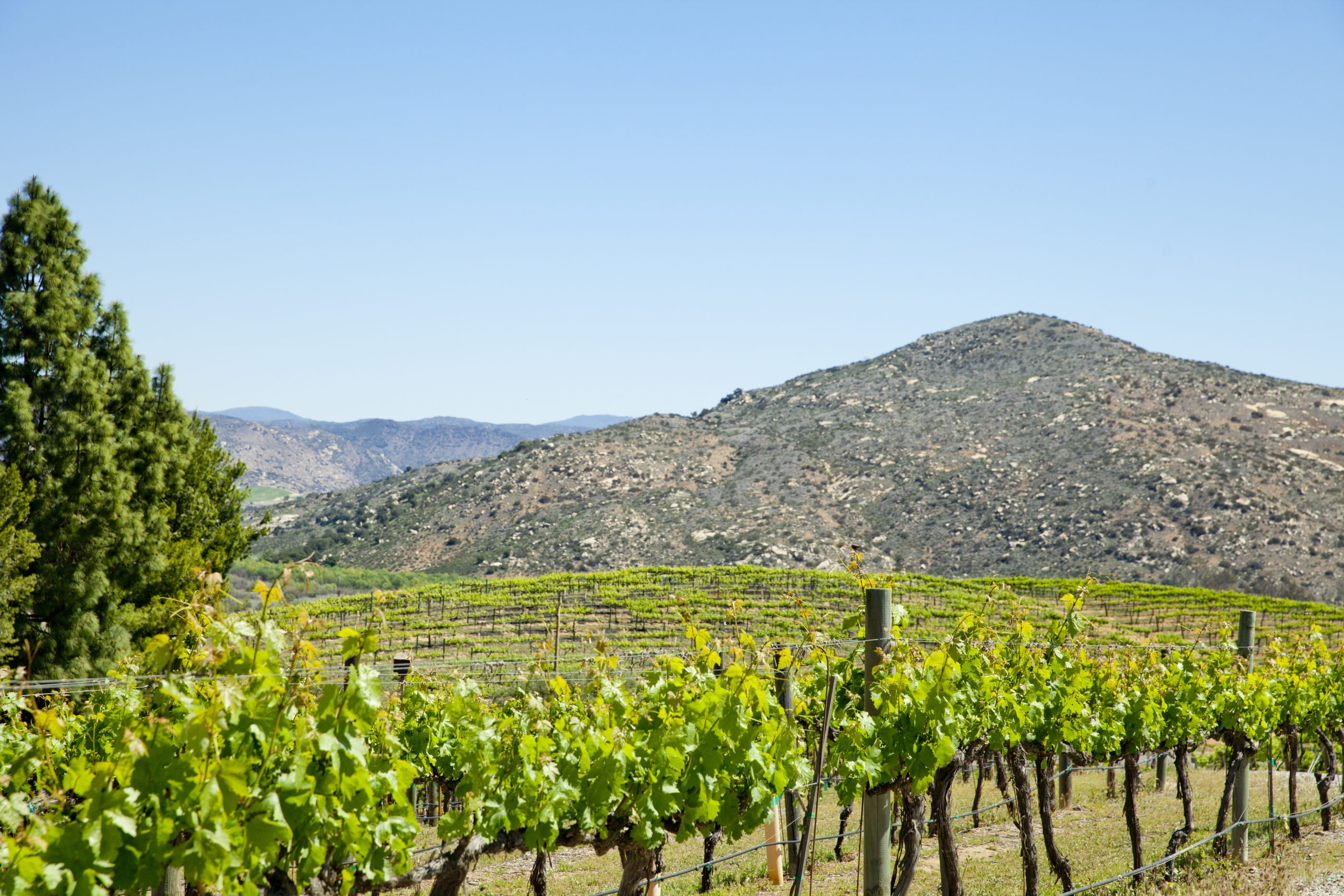 Rows of healthy vineyards with a small hill in the background in rural Escondido, CA.