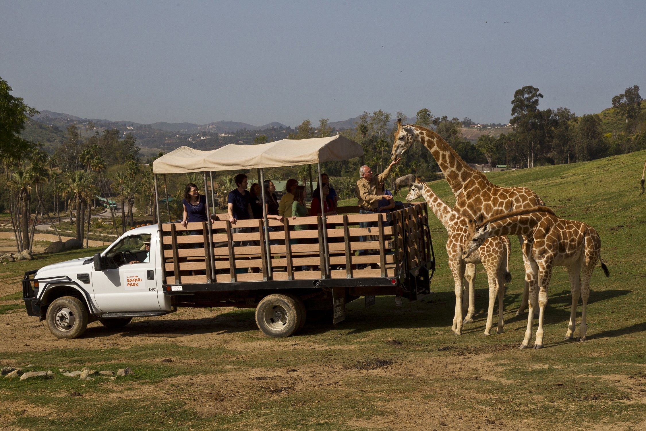 Guests standing on the bed of truck (protected by rails and a canopy for shade) feed giraffes in their enormous habitat.